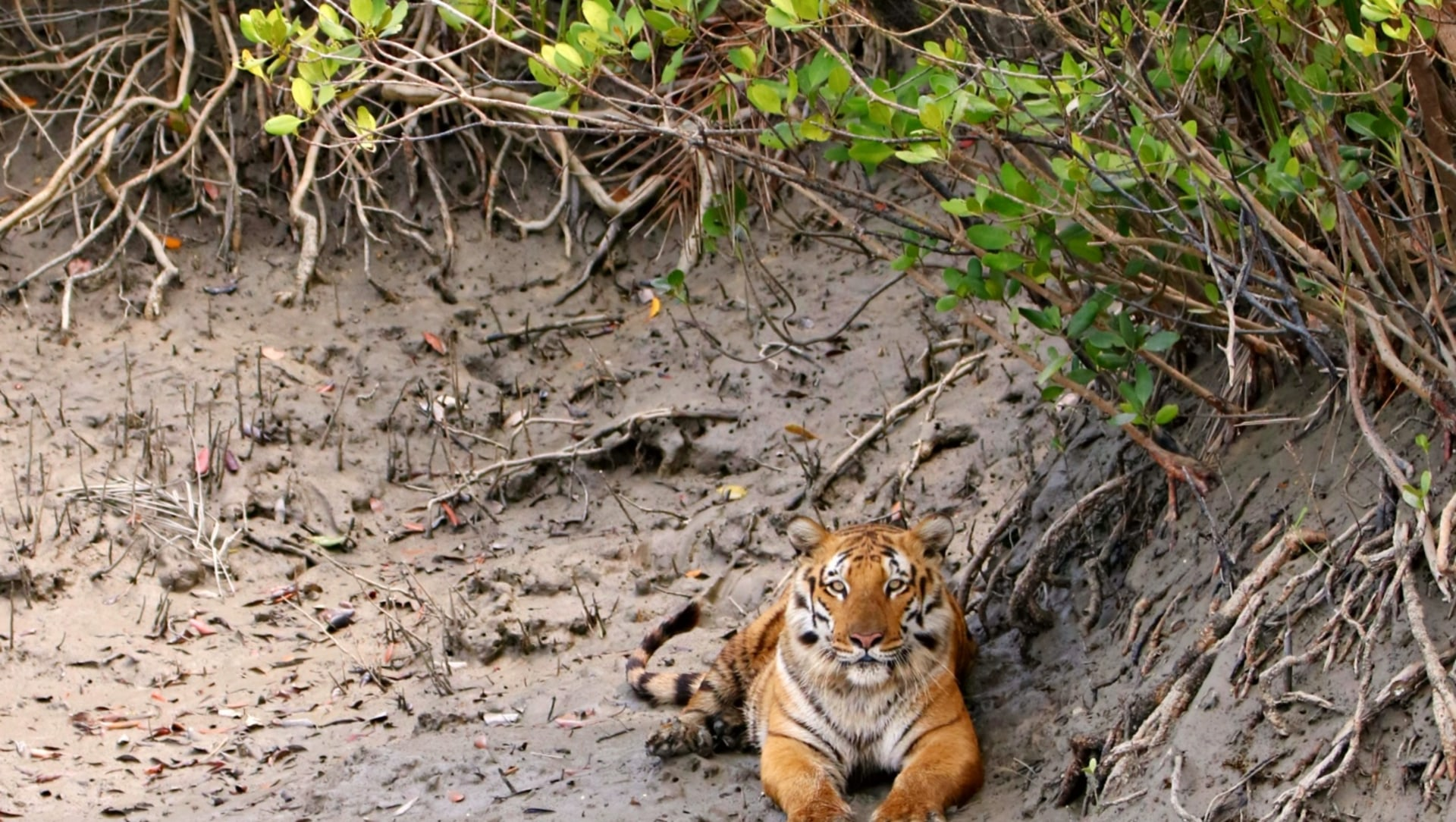 Tracking the Untraceable Sundarbans Tiger