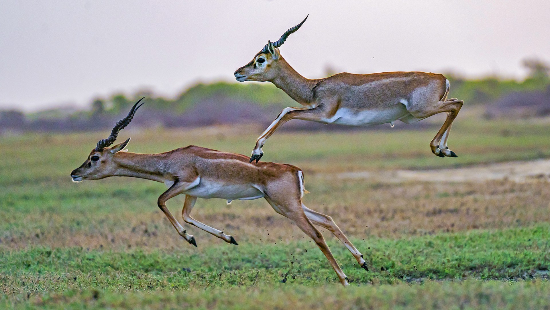 Blackbuck Beauties at the Point of Protection