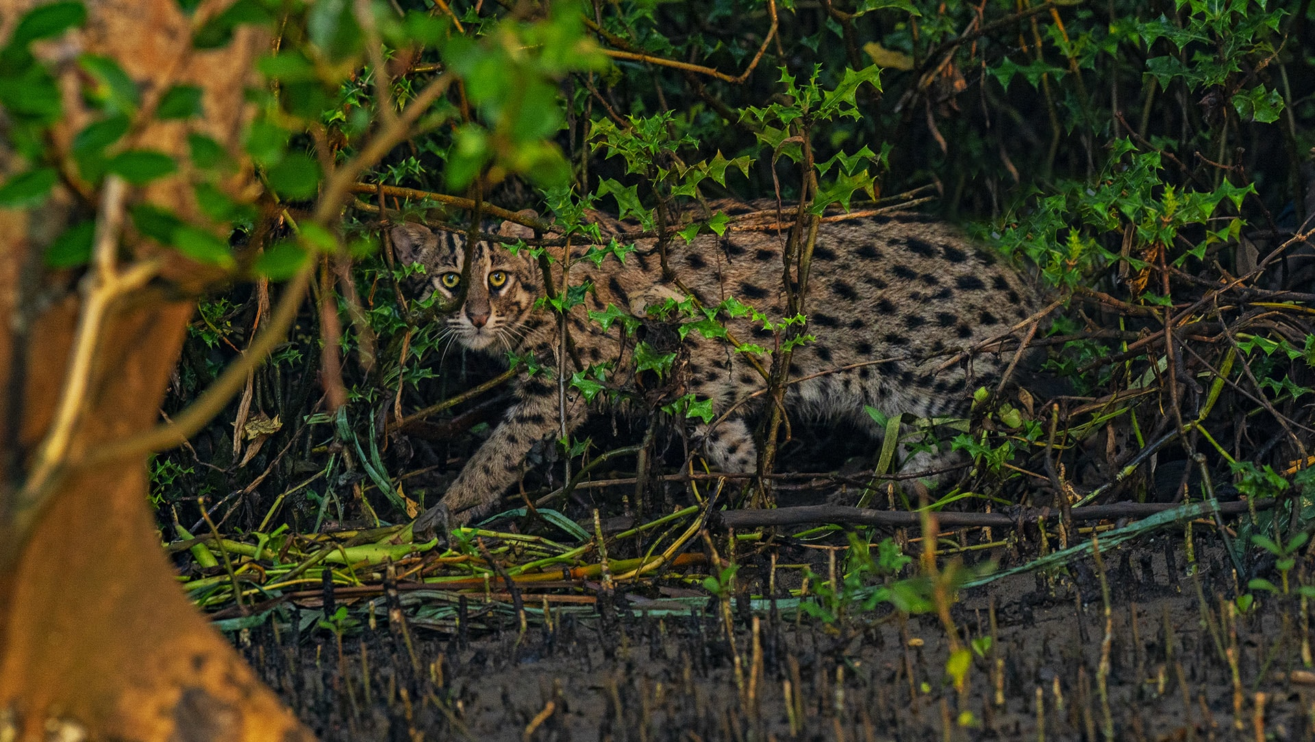 Hunter Among the Mangroves: The Fishing Cats of Coringa