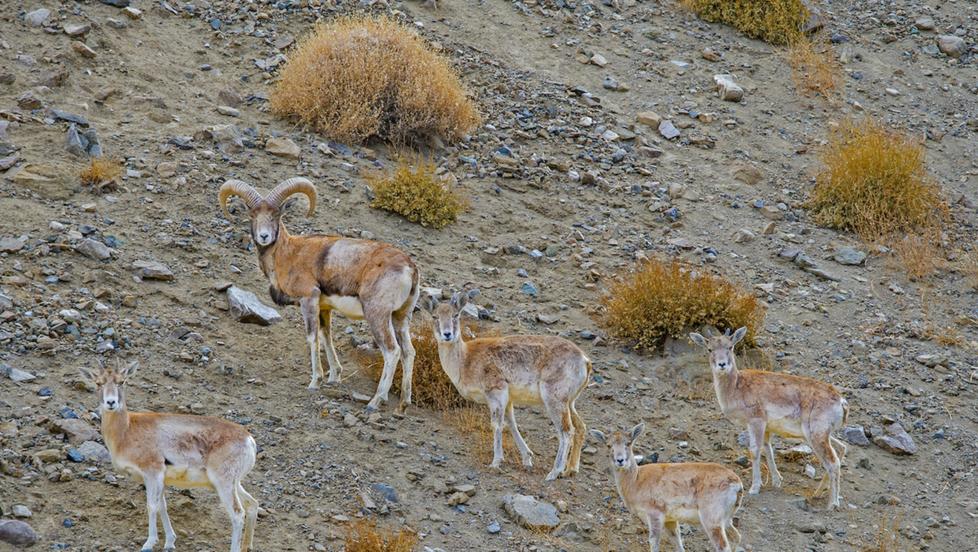 Cross Connections: The Story of Humans, Urial, and their Kin