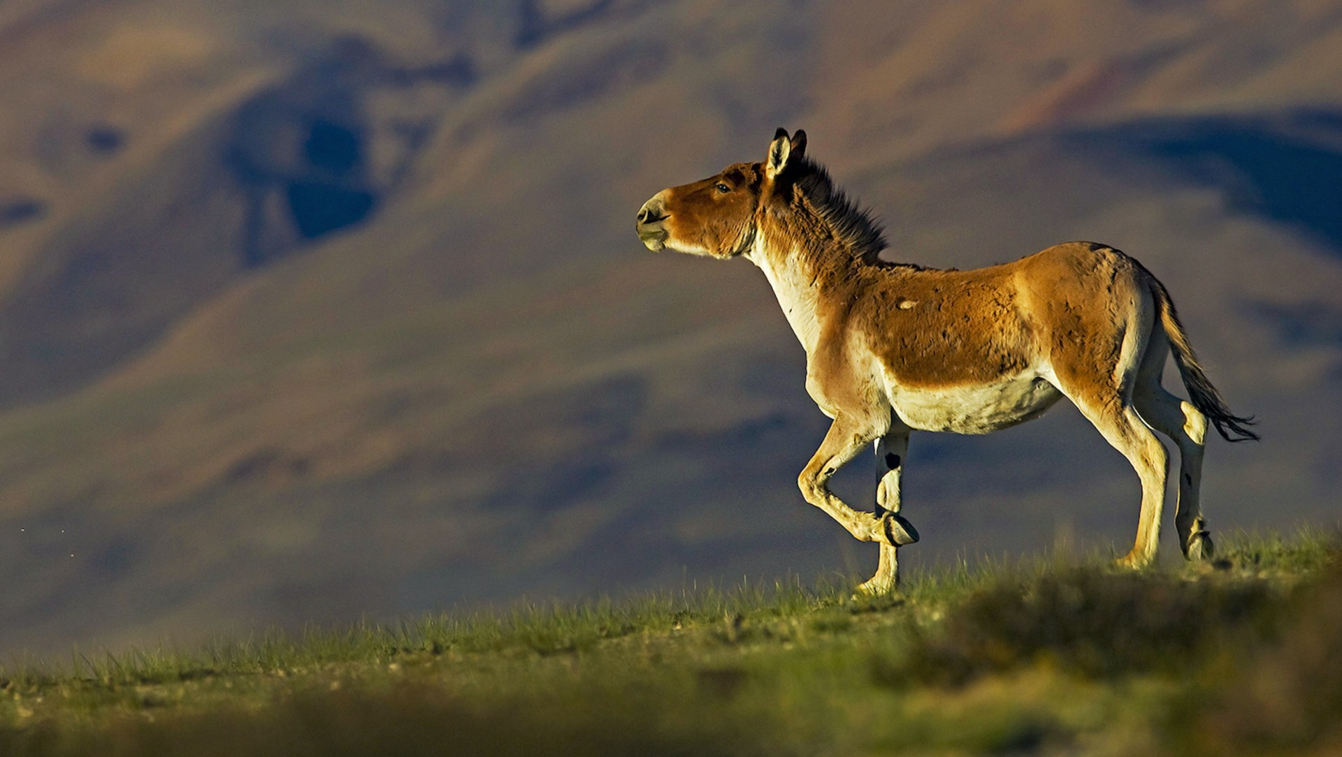 Running Free: Tibetan Wild Ass of the Trans-Himalaya