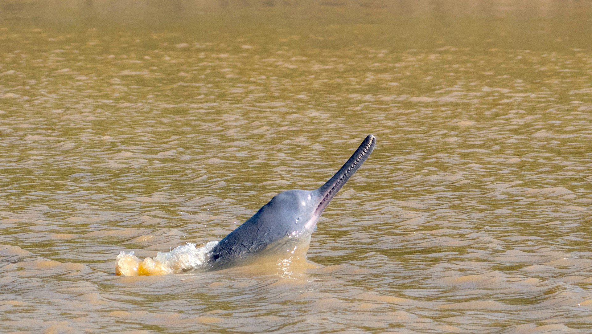 Ganges River Dolphin: Facts, Habitat, Threats