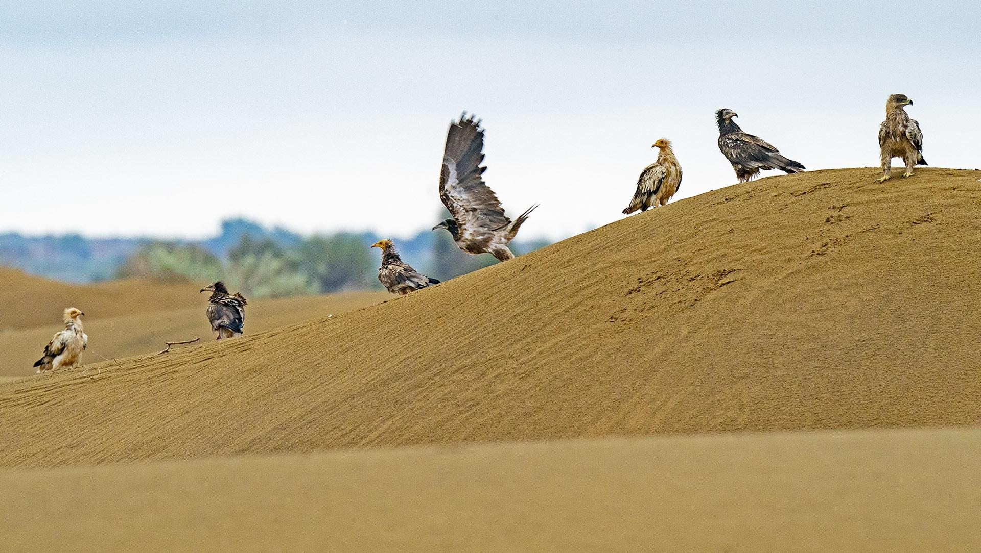 Hunters of the Thar: Raptors in Desert National Park