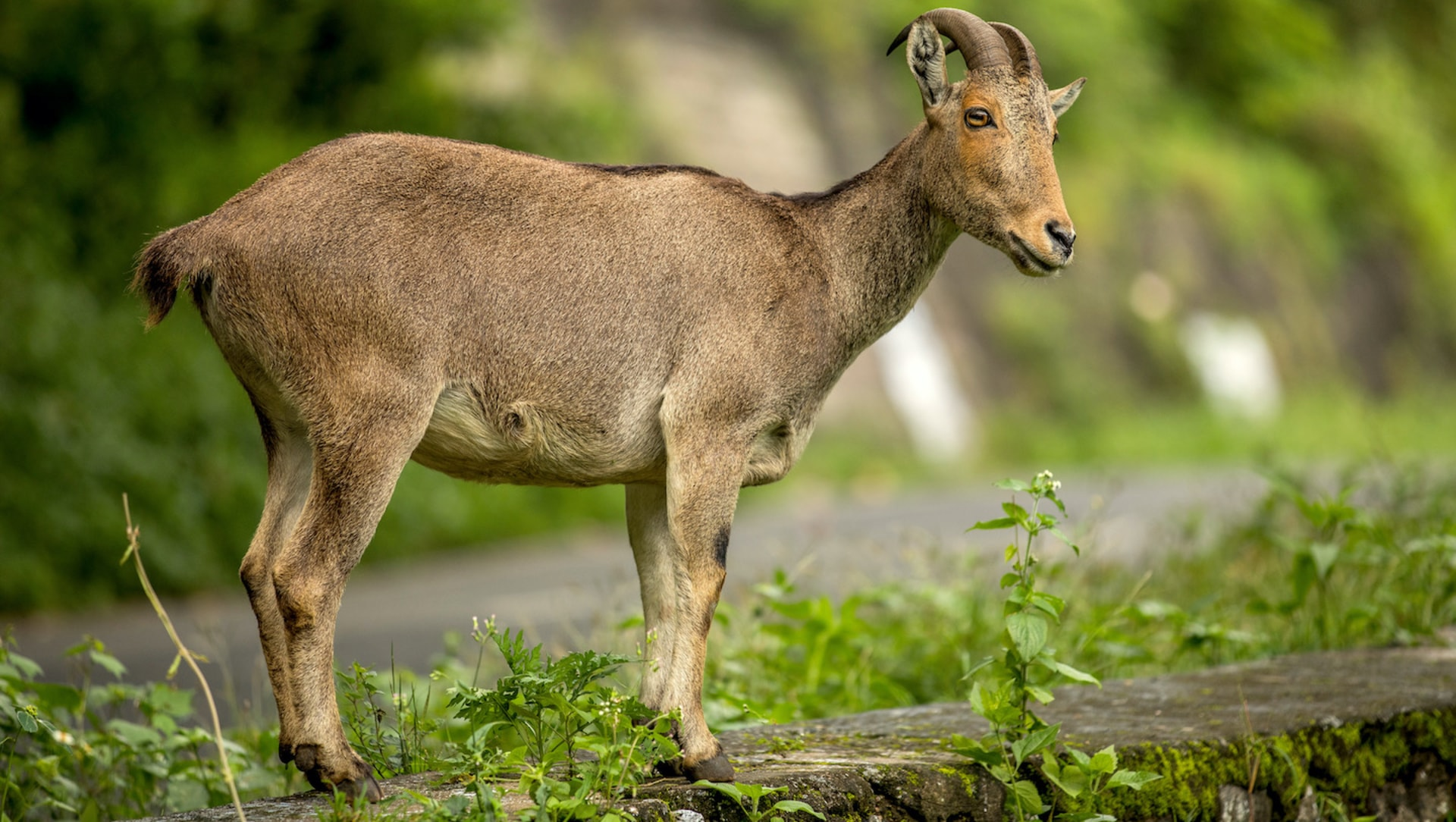 Nilgiri Tahr: The Little-known Mountain Monarch of the Anaimalai Hills