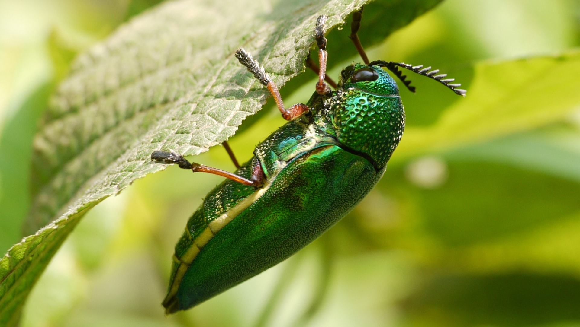 Cryptic Splendour in Jewel Beetle Finery