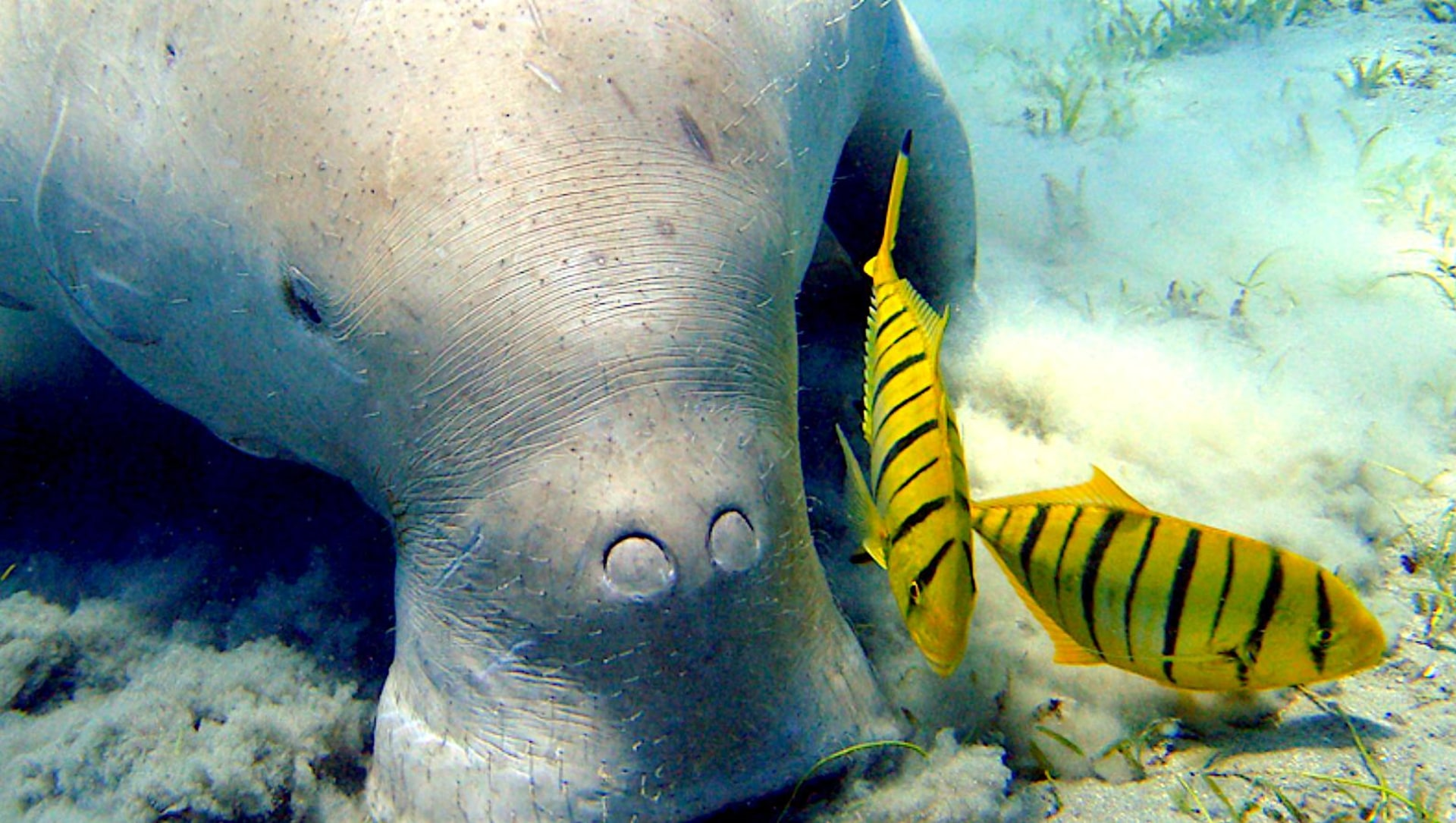 Fish workers critical to saving dugongs and their seagrass habitat