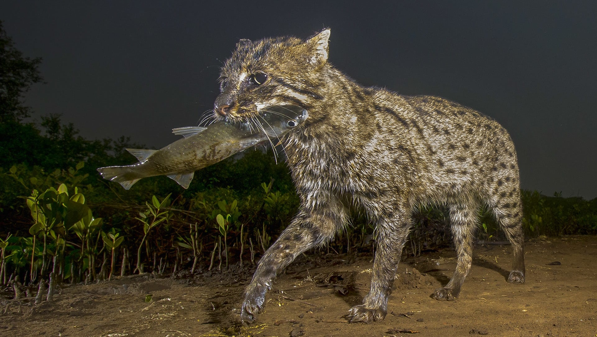 Fishing Cat: Elusive Hunter of the Wetland Forest