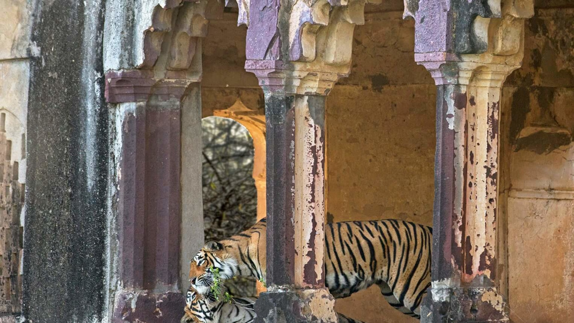 Eye on the Tiger: Memories of Photographing the Wild Cat