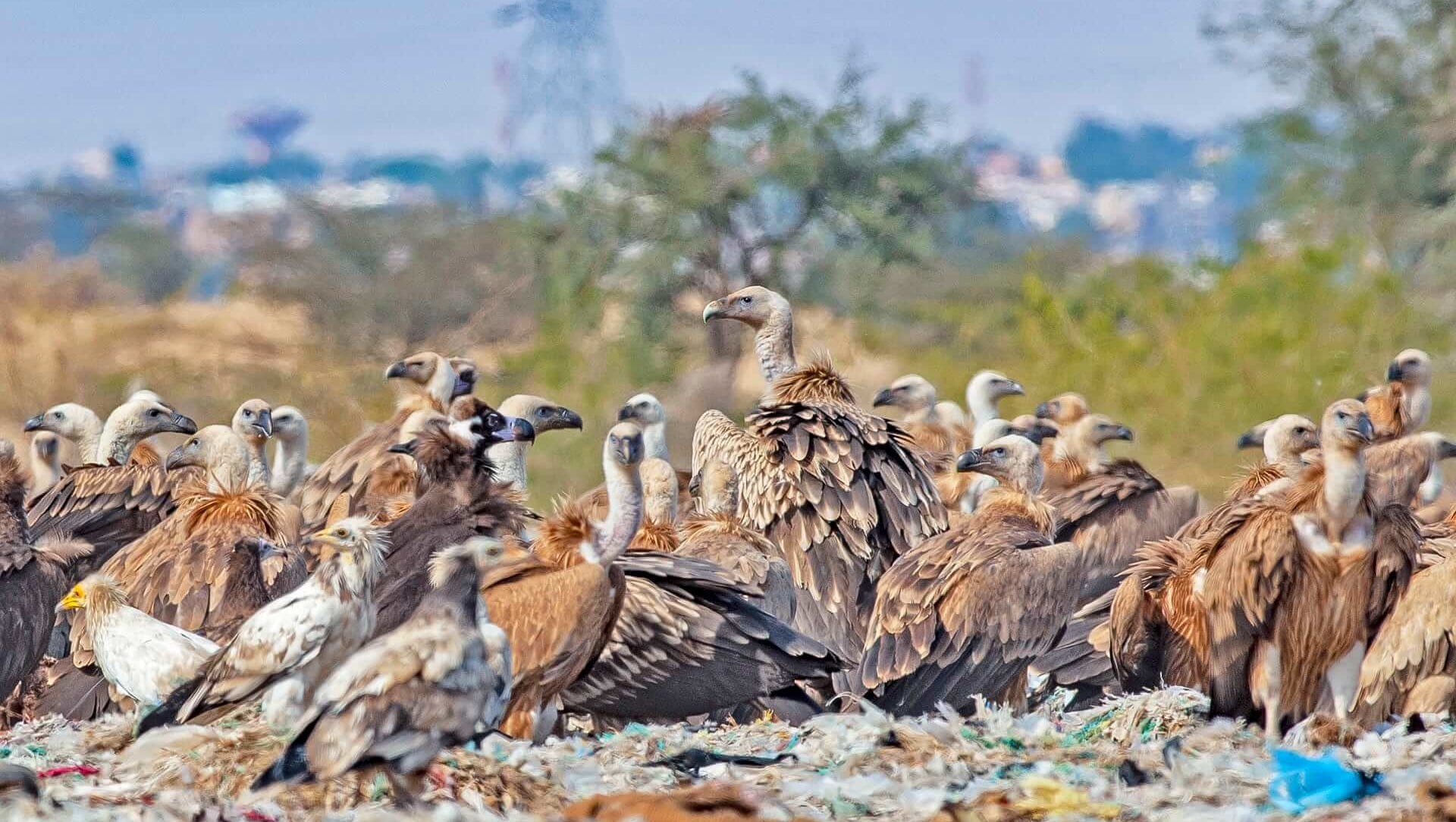 Keep Calm and Carrion: The Great Vulture Gathering in Jorbeed, Rajasthan