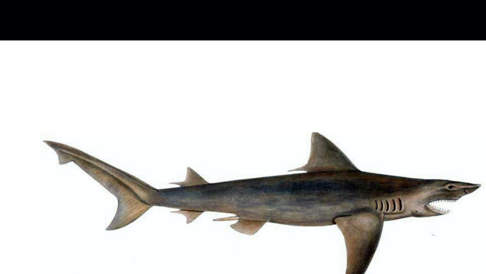 Ganges Shark: The One True River Shark of India