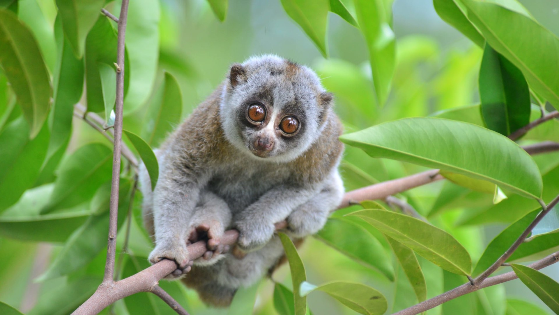 The Bengal Slow Loris: Disappearing Gently into That Good Night