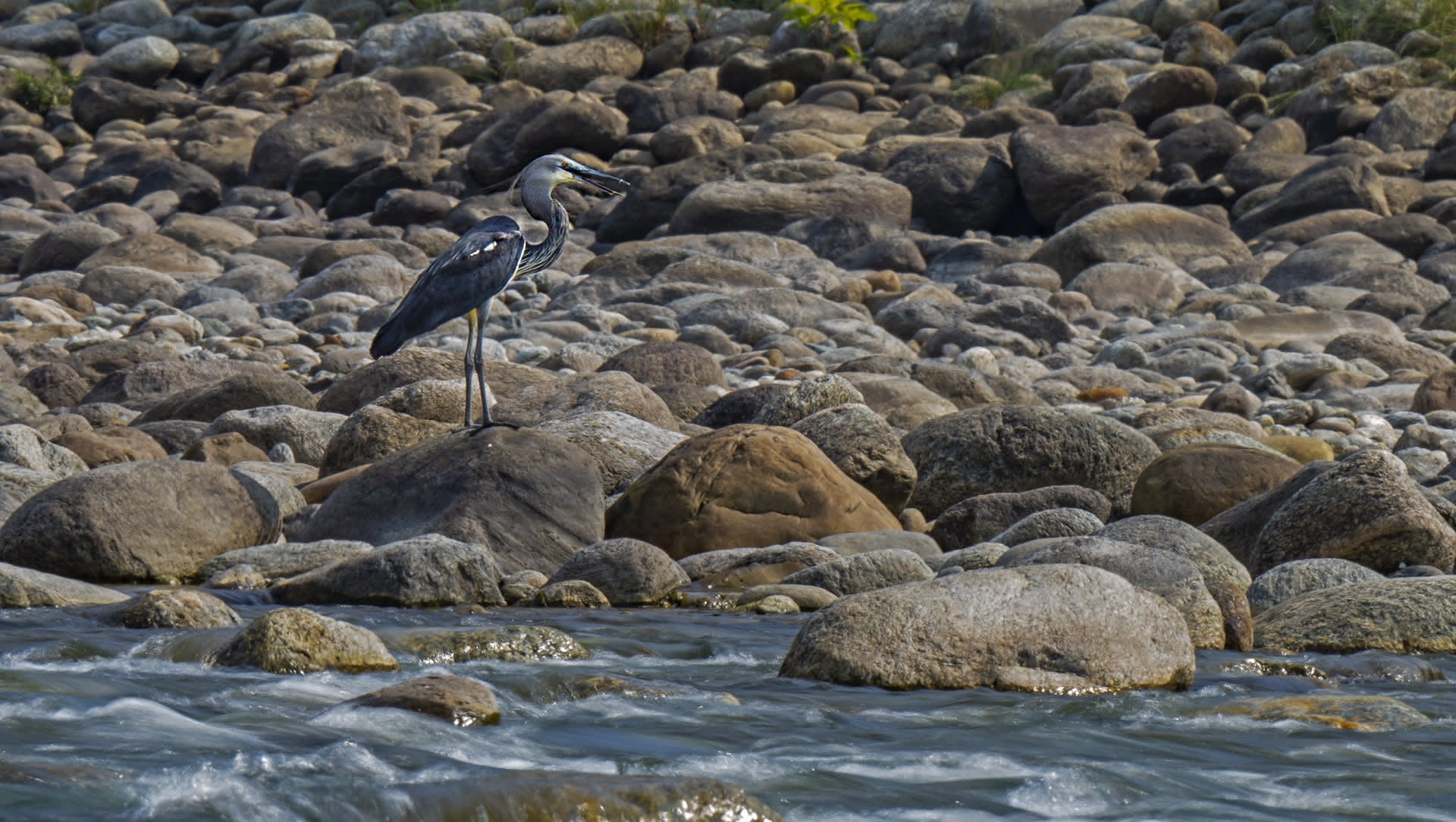 Tall, Dark, and Lonesome: The White-bellied Heron's Last Call for Help