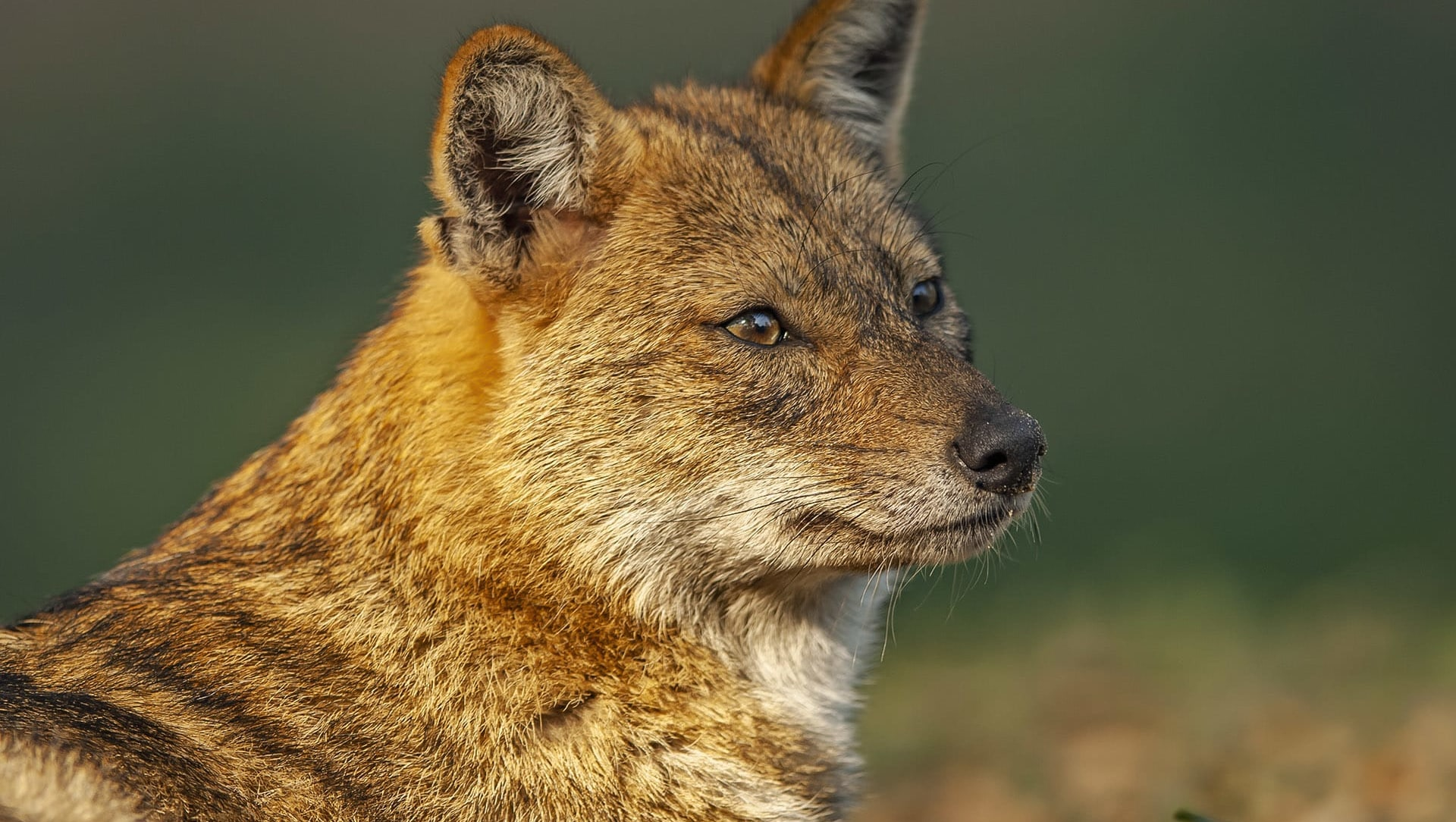 Golden Jackal: Wandering Howler of Indian Jungles and Backyards