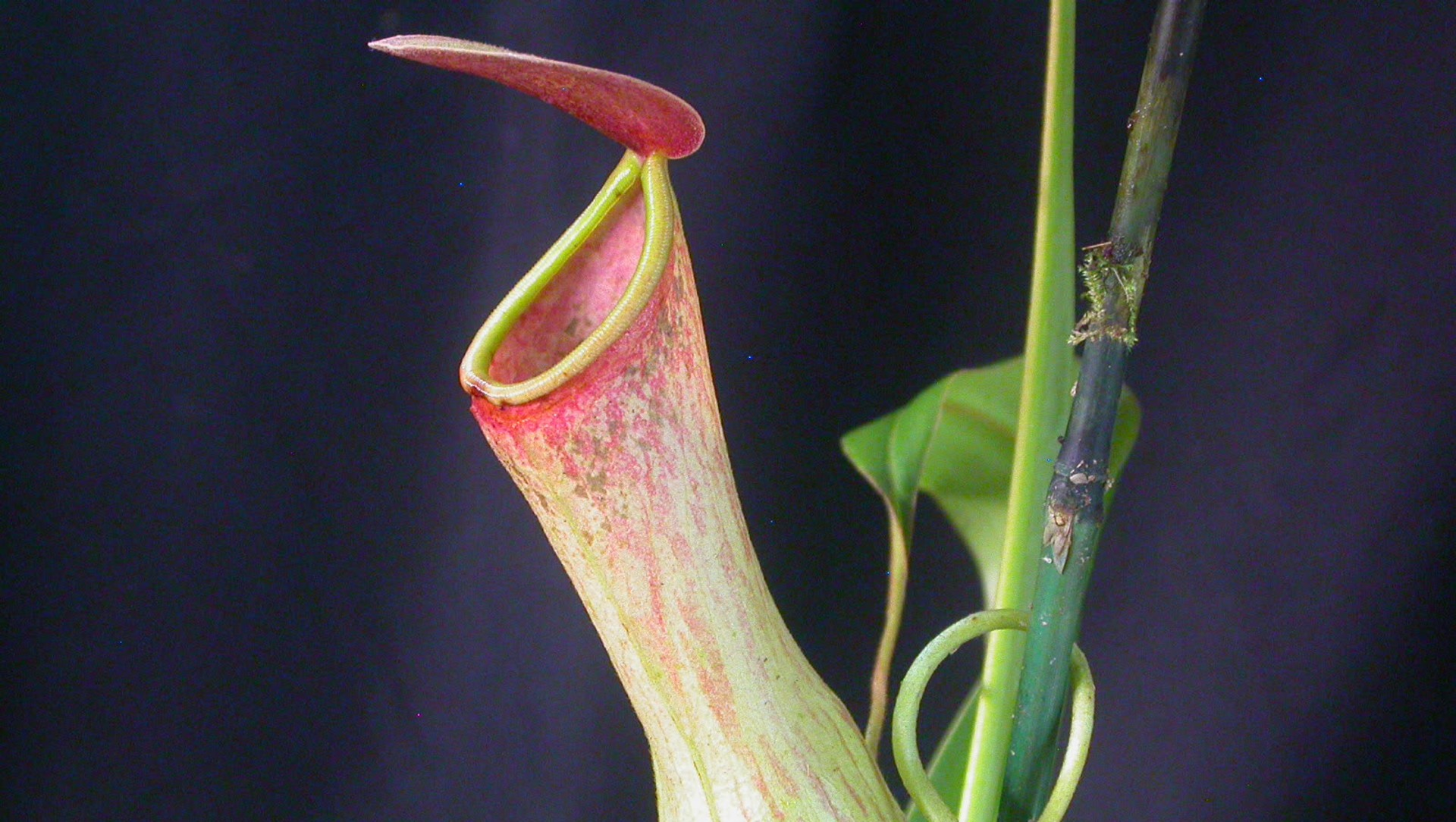 Fighting a Race Against Extinction: India's Only Pitcher Plant