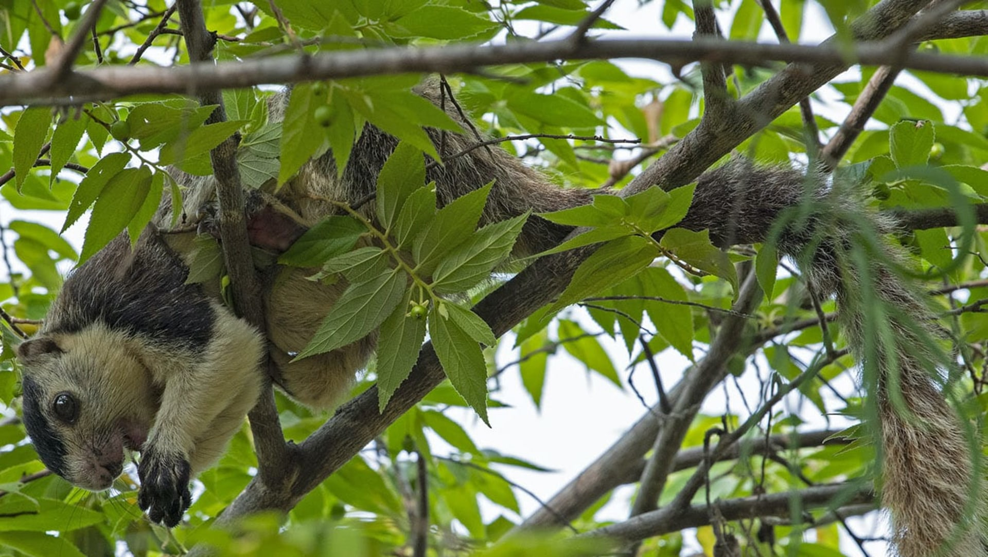Missed Connections: How Disconnected Forests Threaten the Grizzled Giant Squirrel