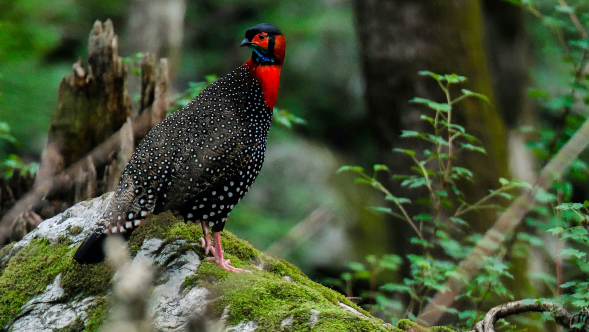 Western Tragopan: Quest for the Colourful Pheasant