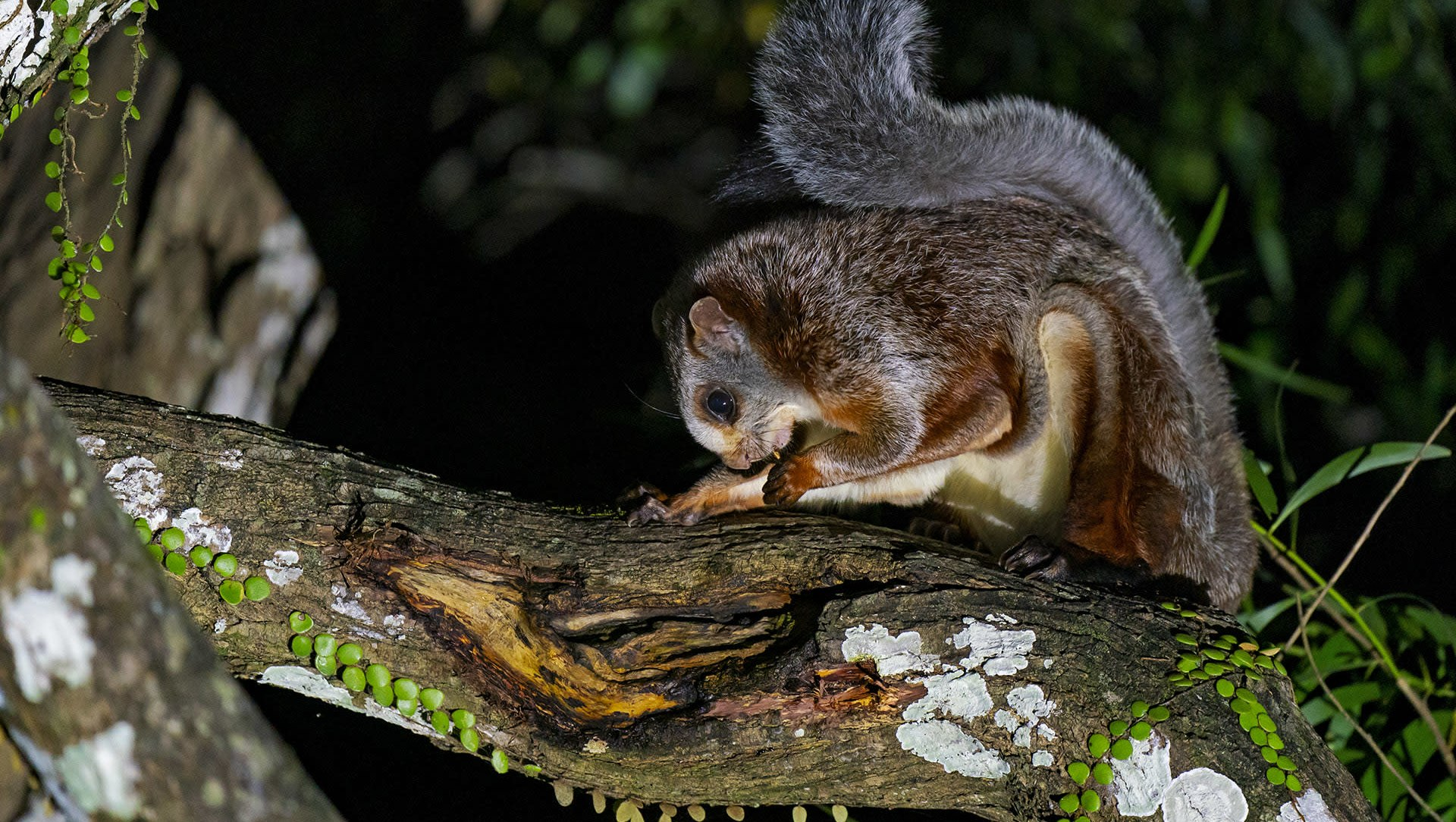 Night Flyer: The Red Giant Gliding Squirrel in Namdapha National Park