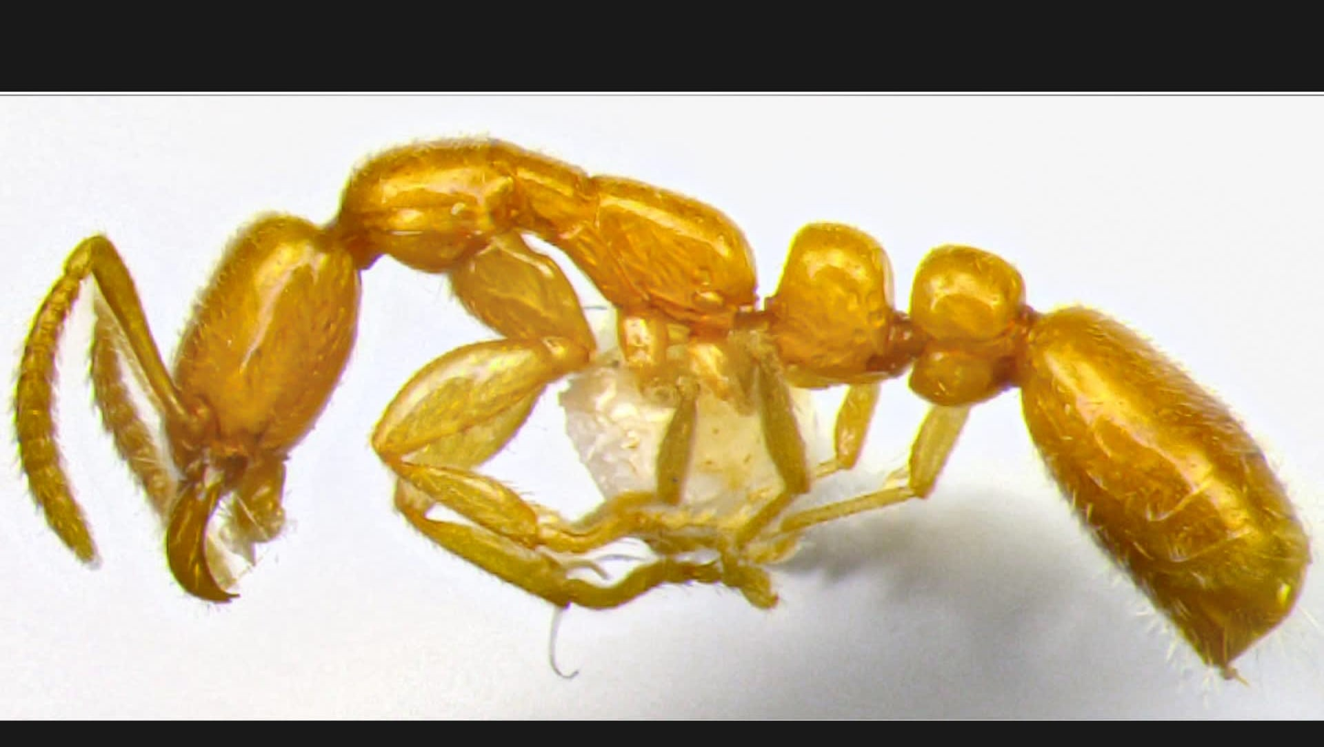 New Underground Ant Discovered from Goa