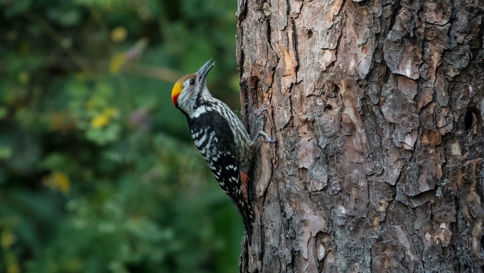 Size Matters: Why Woodpeckers in Sub-Himalayan Forests Peck the Largest Trees