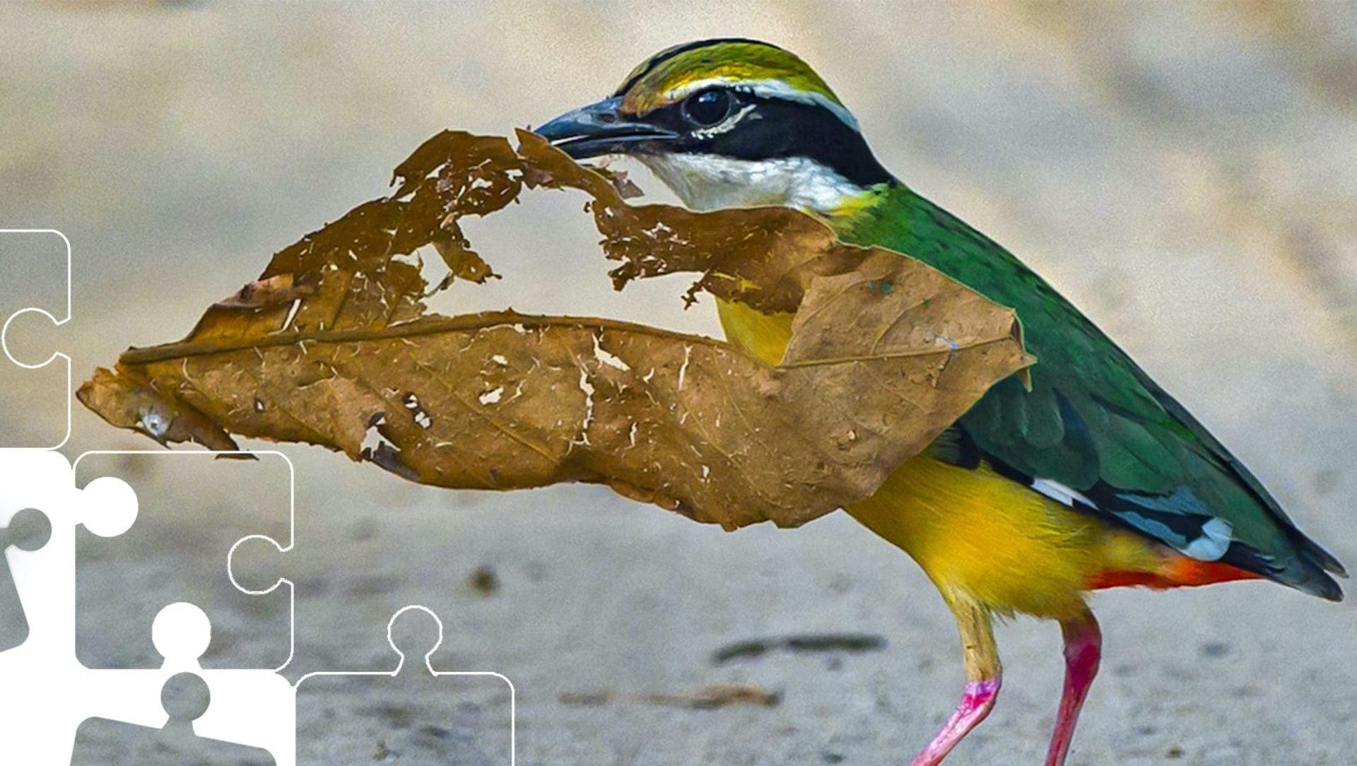 Wildlife Puzzle: Indian Pitta