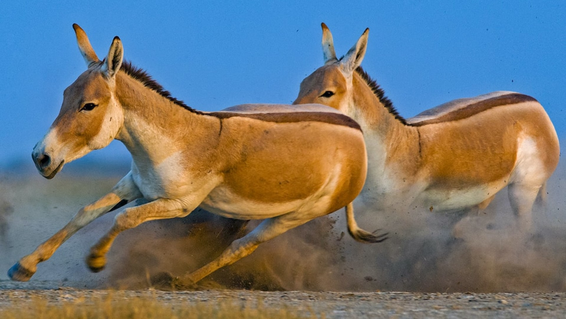 Galloping Through Khur Country: The Asiatic Wild Asses of Gujarat