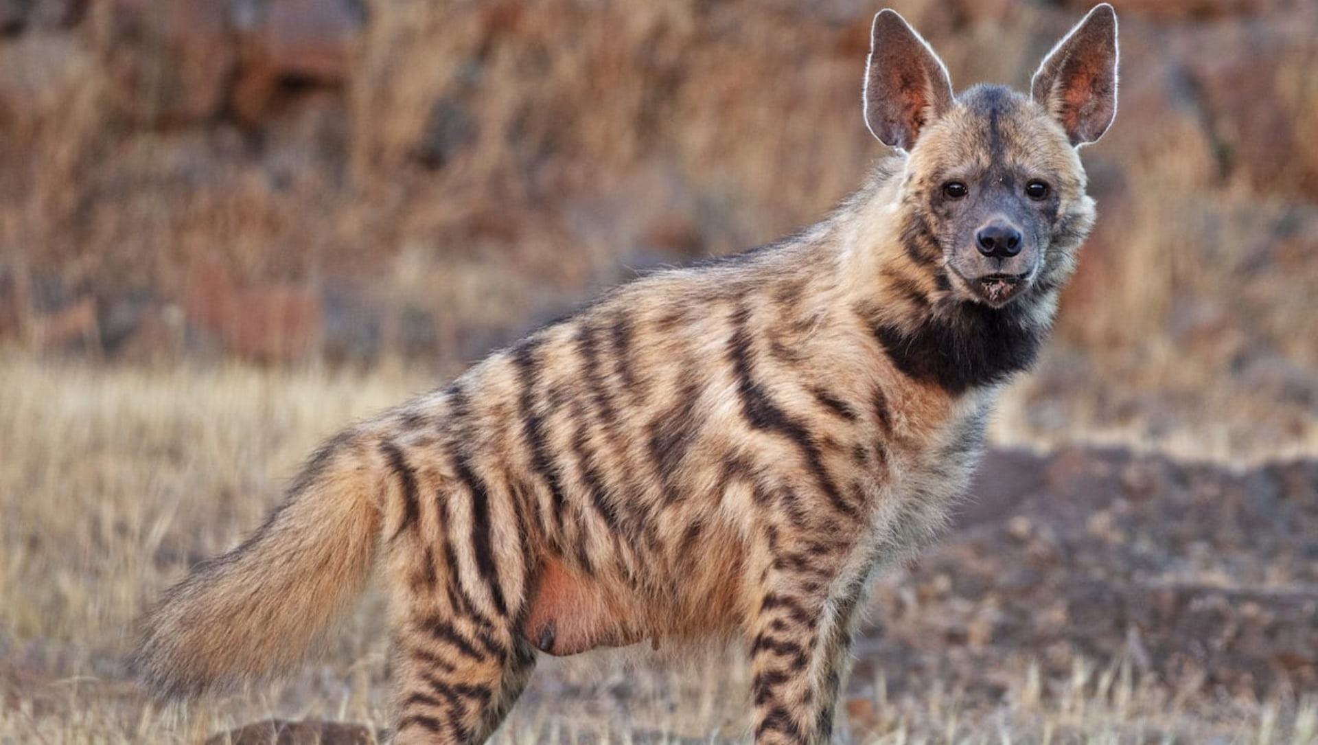 Quiz: The Hyena