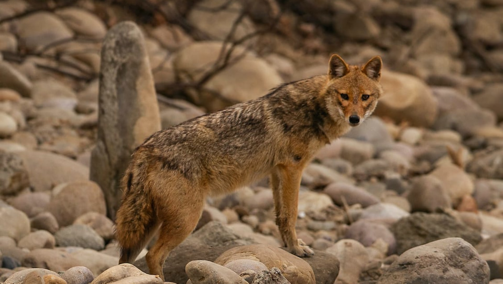 Golden Jackals Find Shelter at Airports