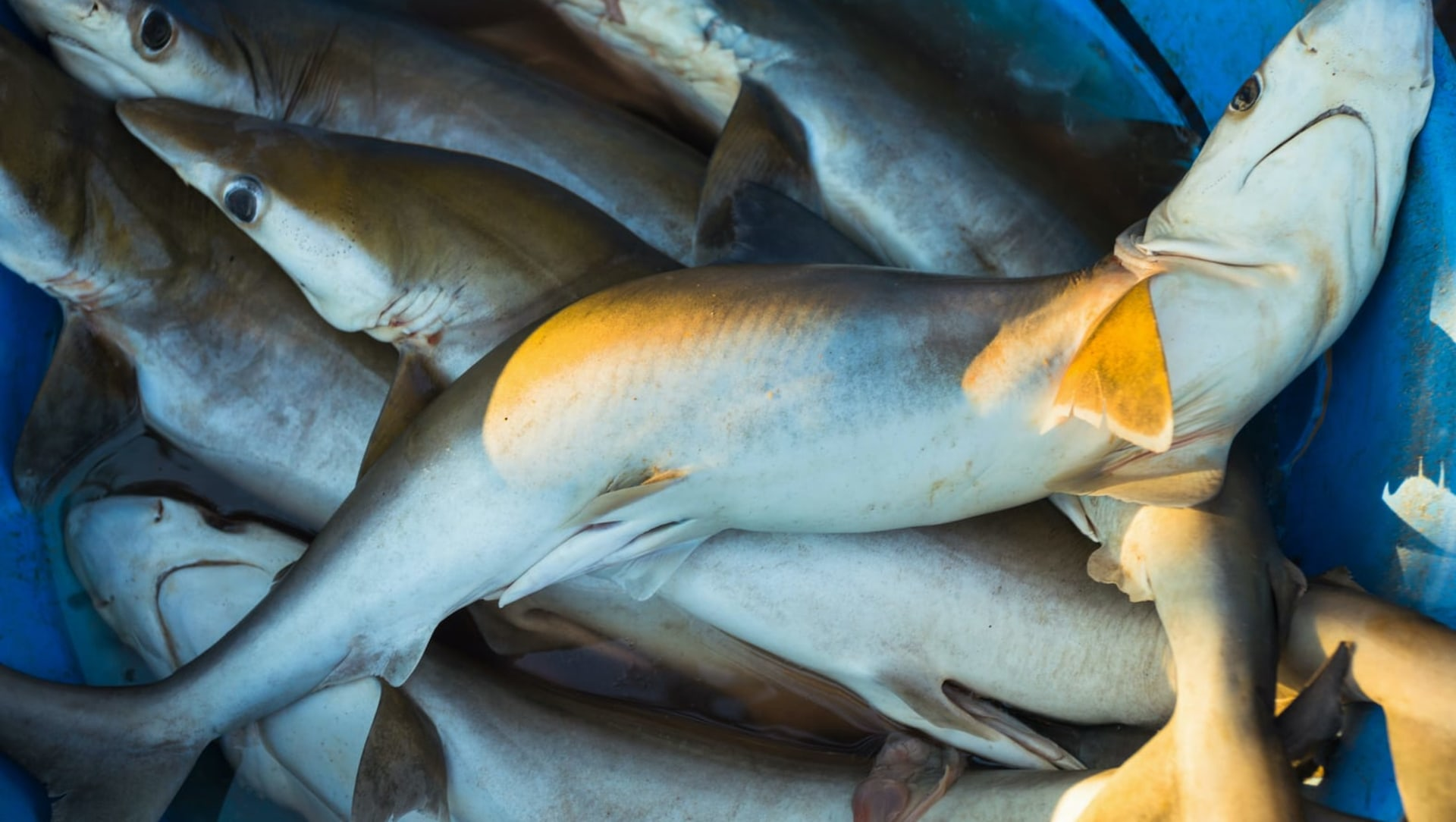 How Goa is Emerging as the New Shark-Eating Destination