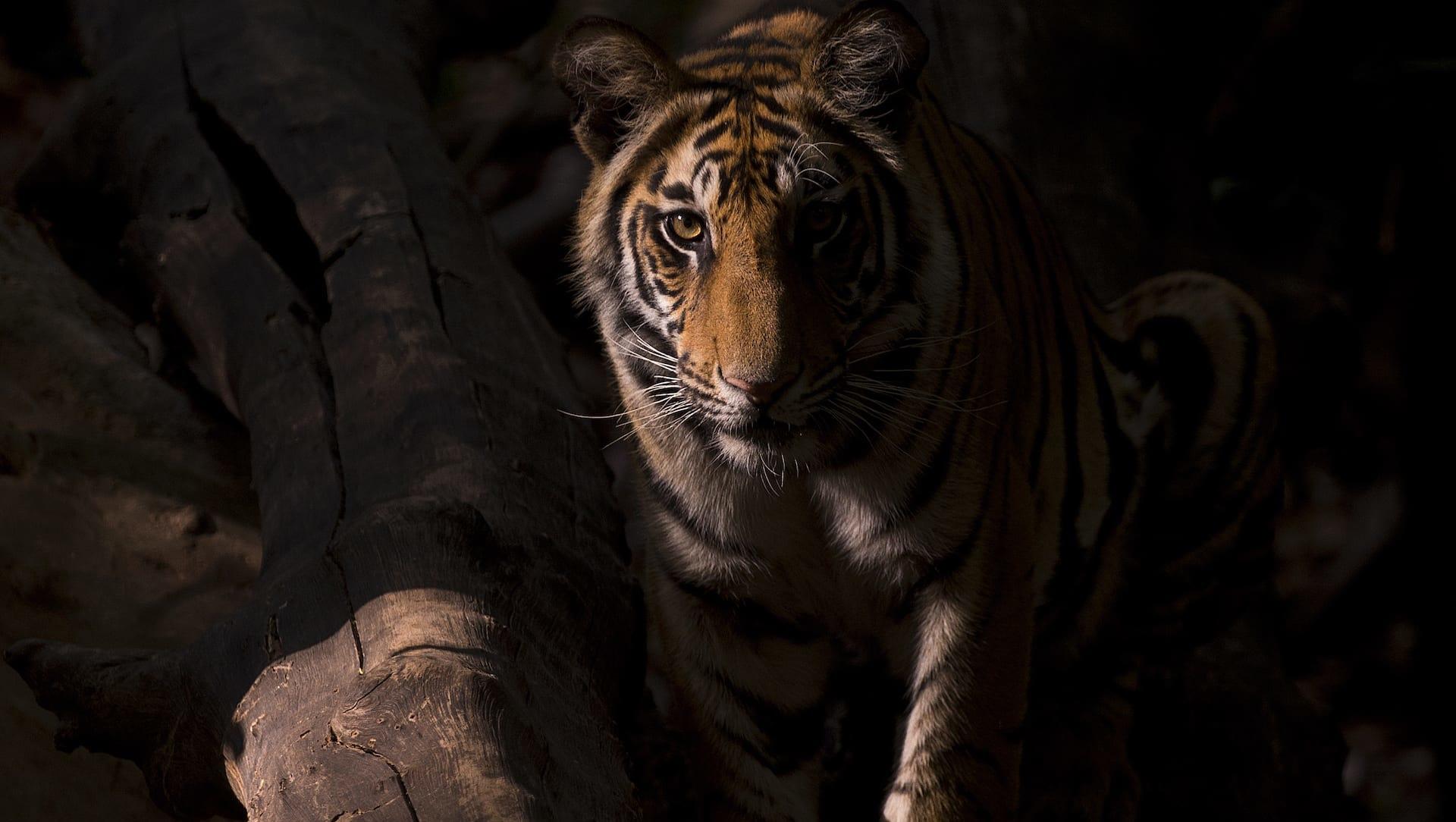 Tiger Story: Lost Stripes of Gujarat