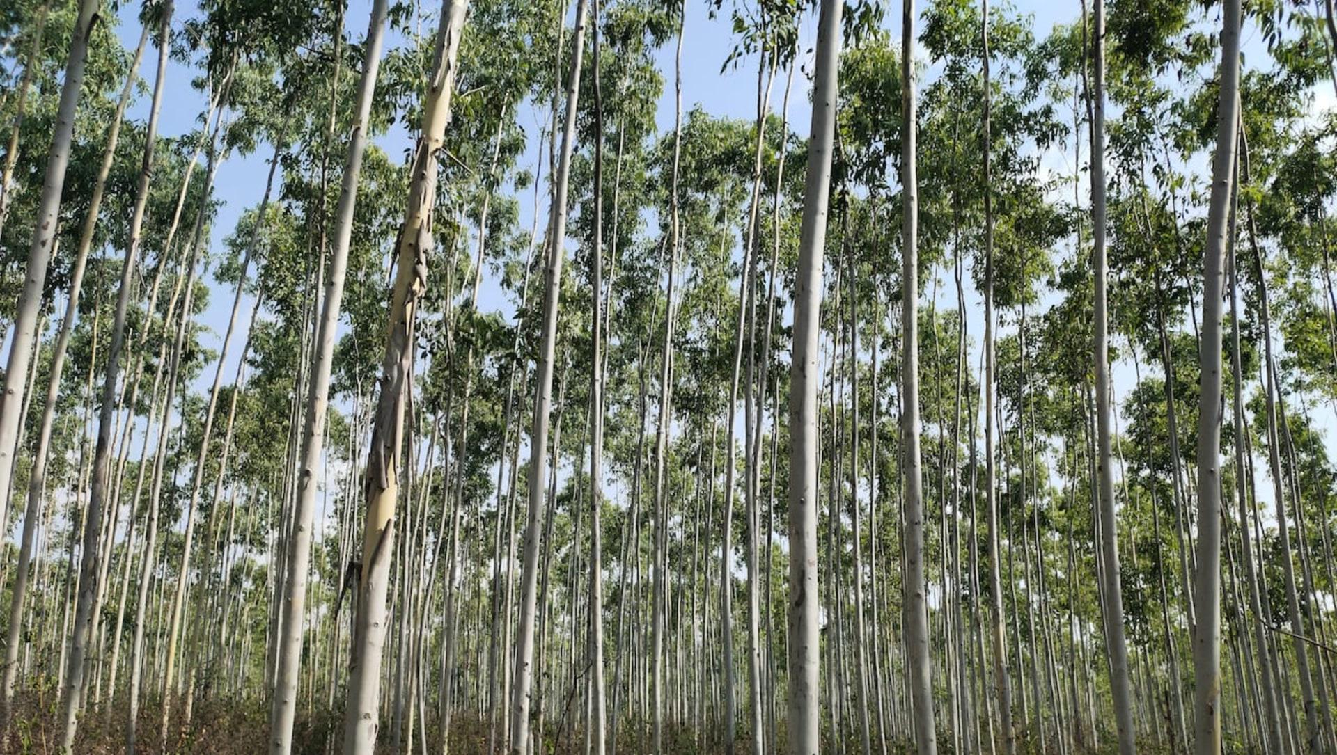Economy or Ecology? Eucalyptus Plantations in Coastal Andhra Raises Concern