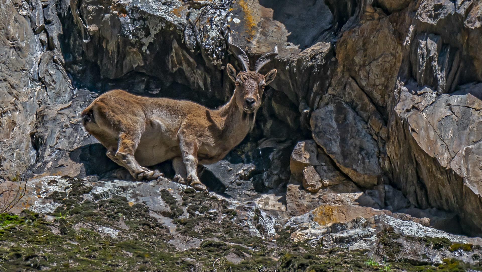 Camouflaged Cliffhangers: The Majestic Kashmiri Markhor