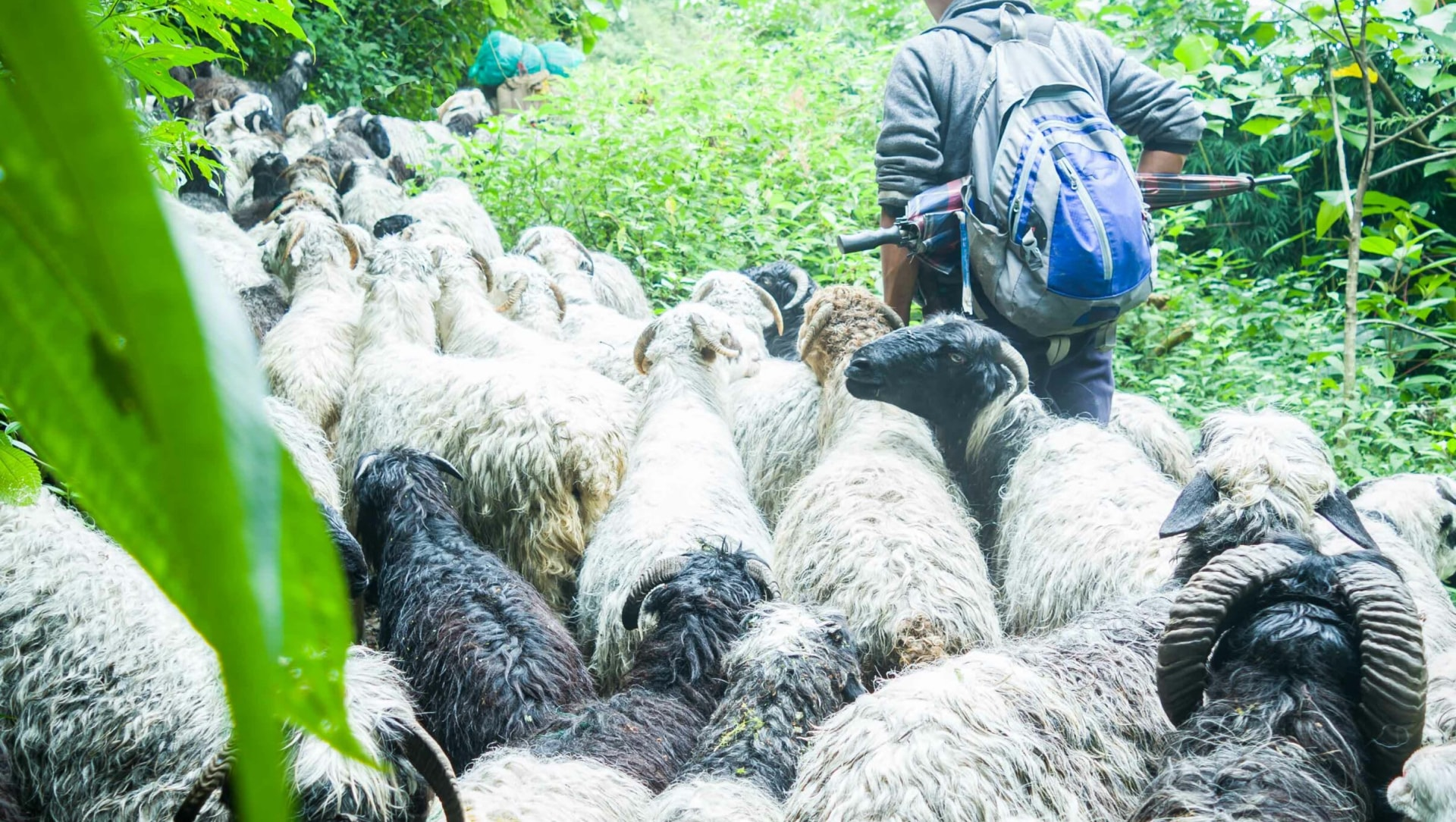 Pastoral Communities Affected by Livestock Grazing Ban in Sikkim