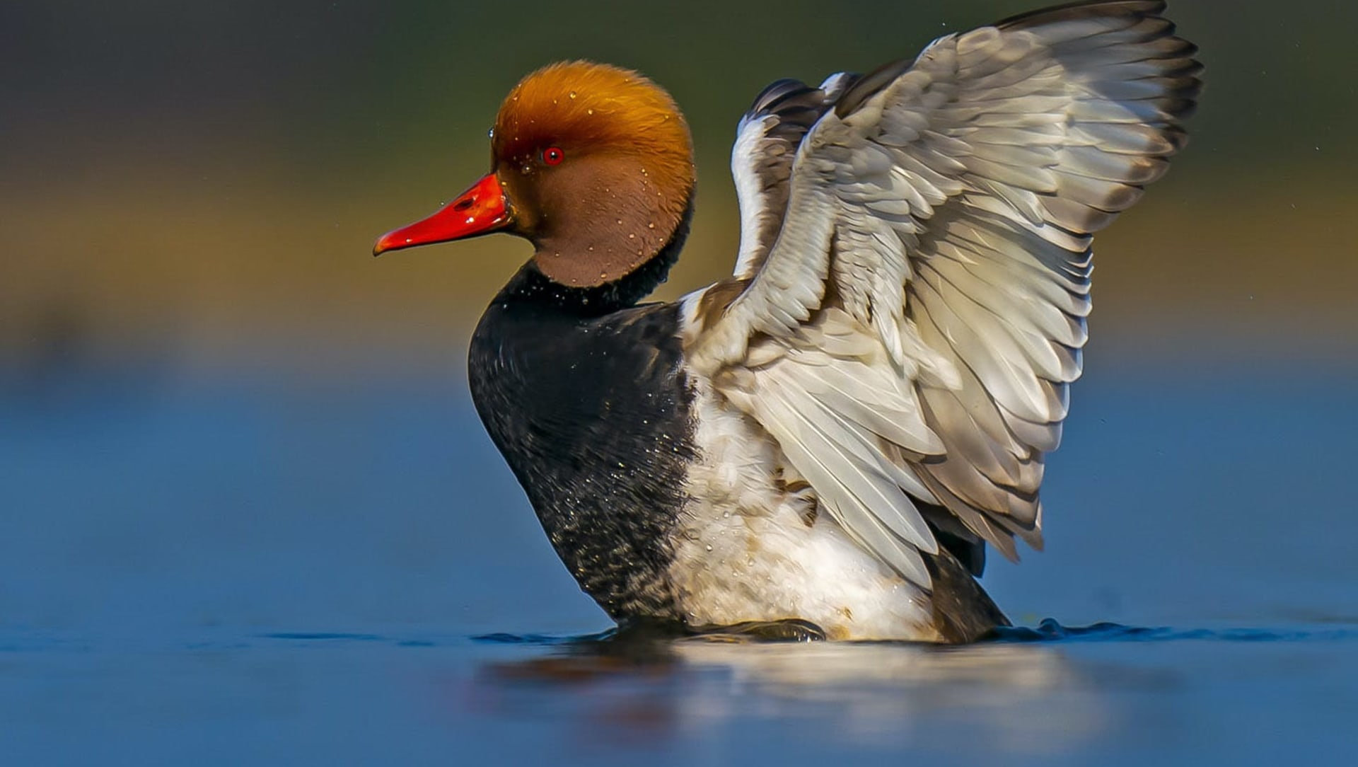 Delightful Ducks: From the Flamboyant to the Austere