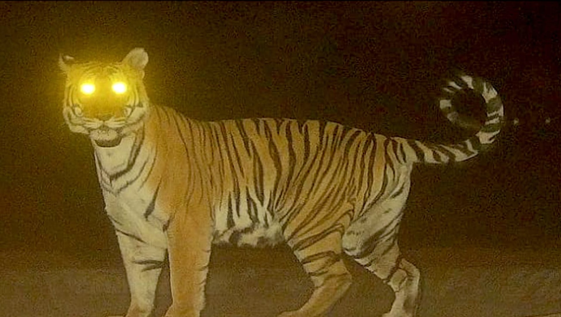Tigress Travels Record Distance in Central India