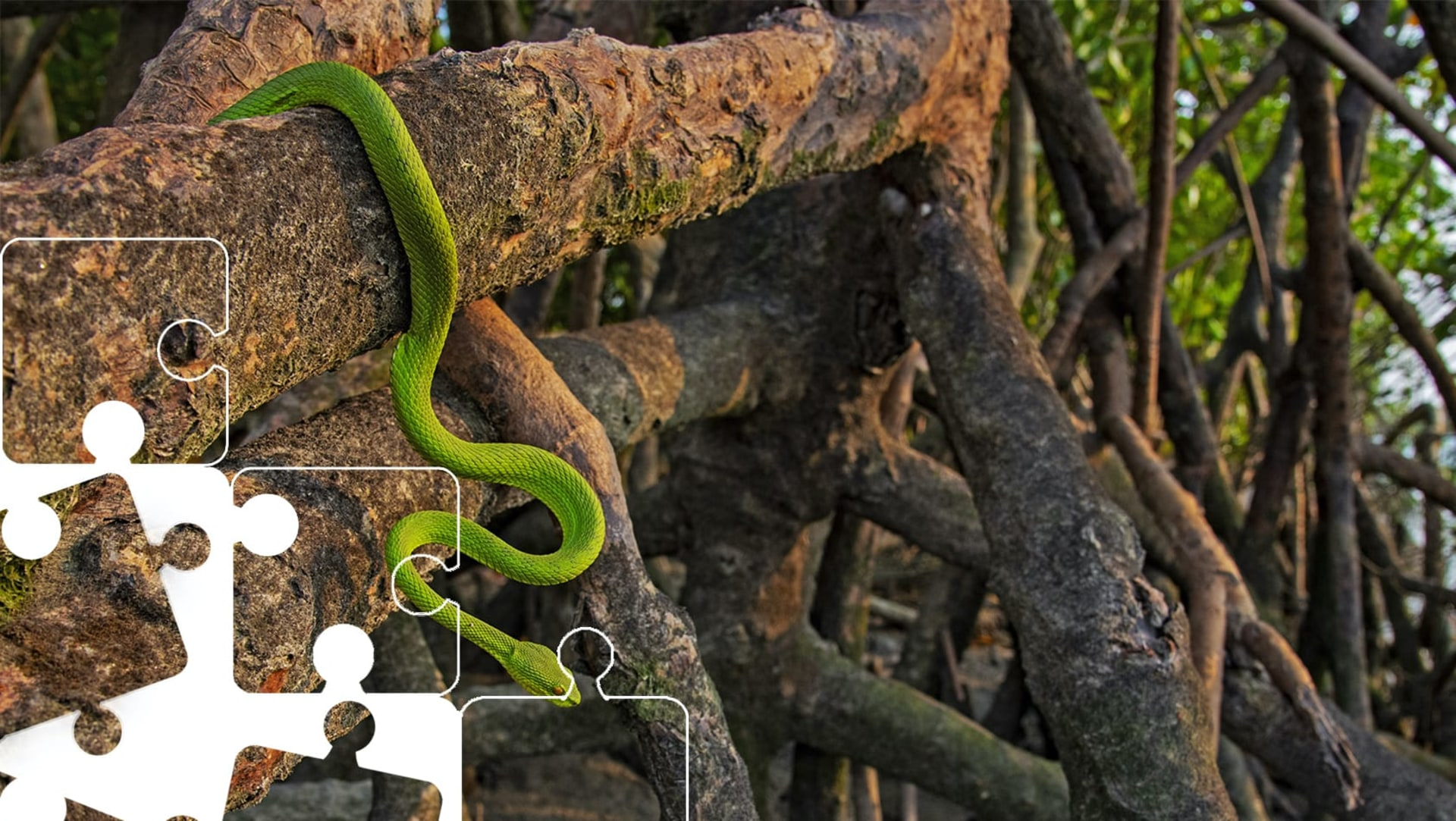 Wildlife Puzzle: Green Pit Viper
