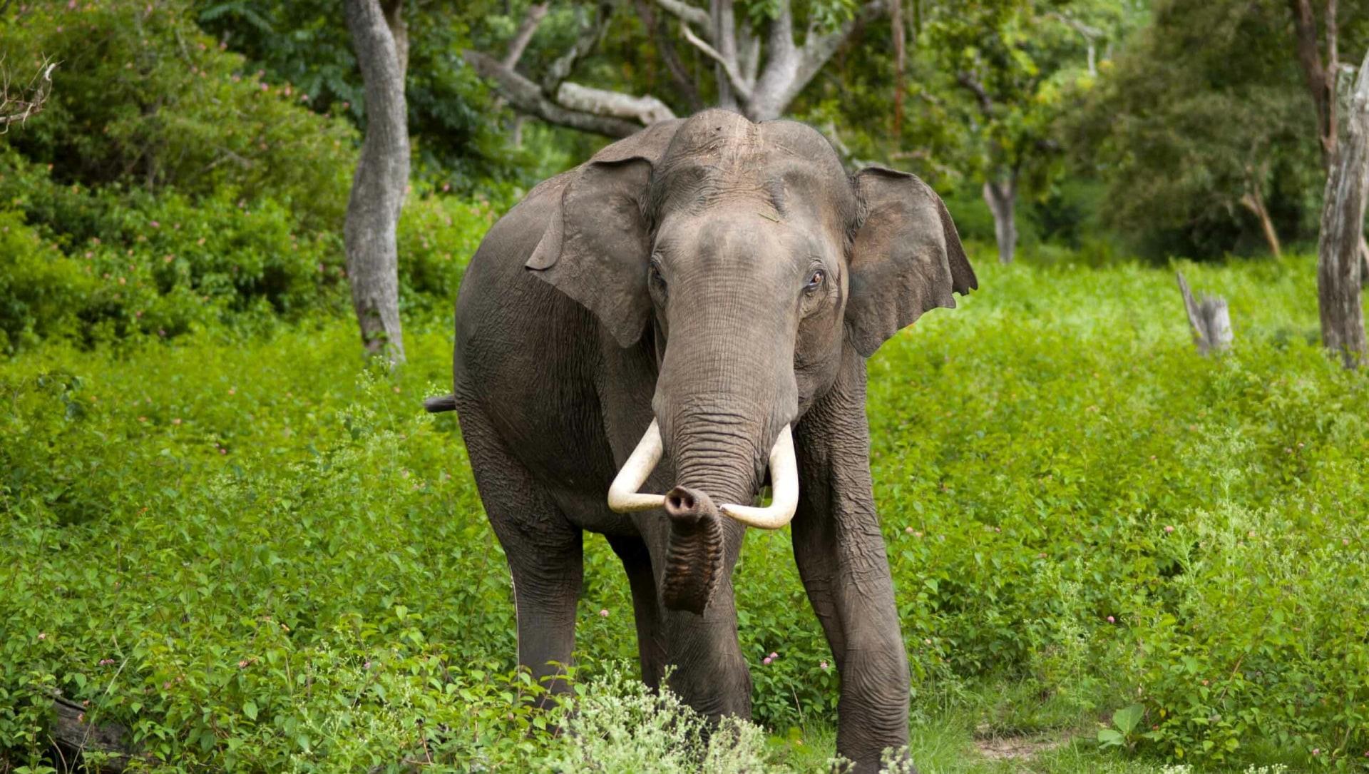 Can Feeding Wild Elephants Paddy Reduce Human-Wildlife Conflict?