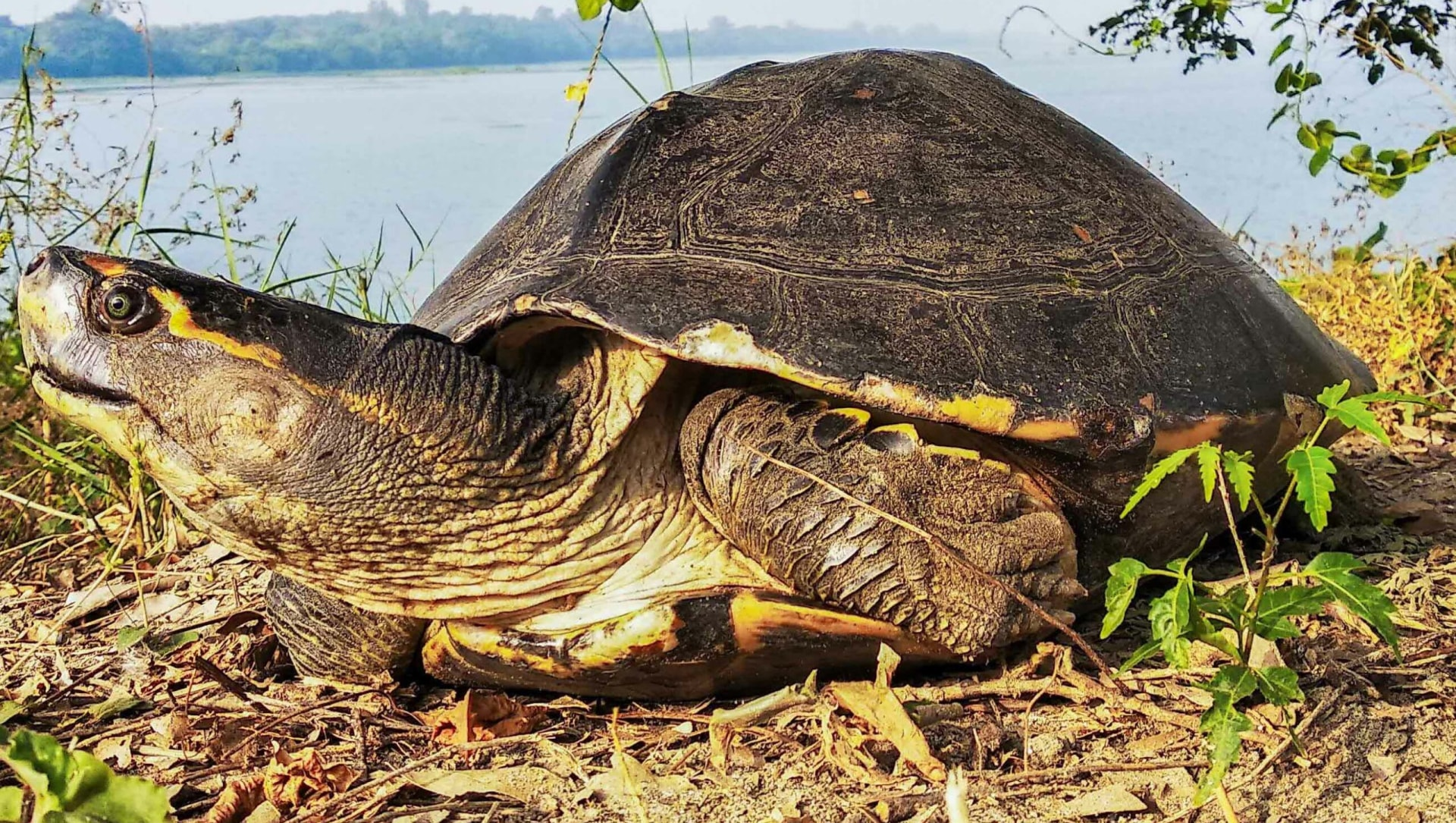Crowned River Turtle: Rooting for this Habitat Specialist