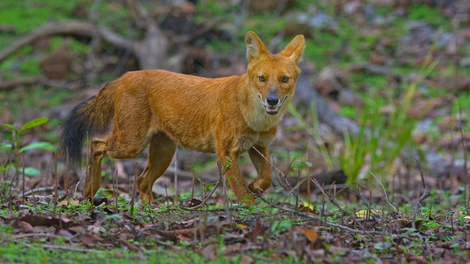 Dholes: The Fearless Communal Pack Hunters
