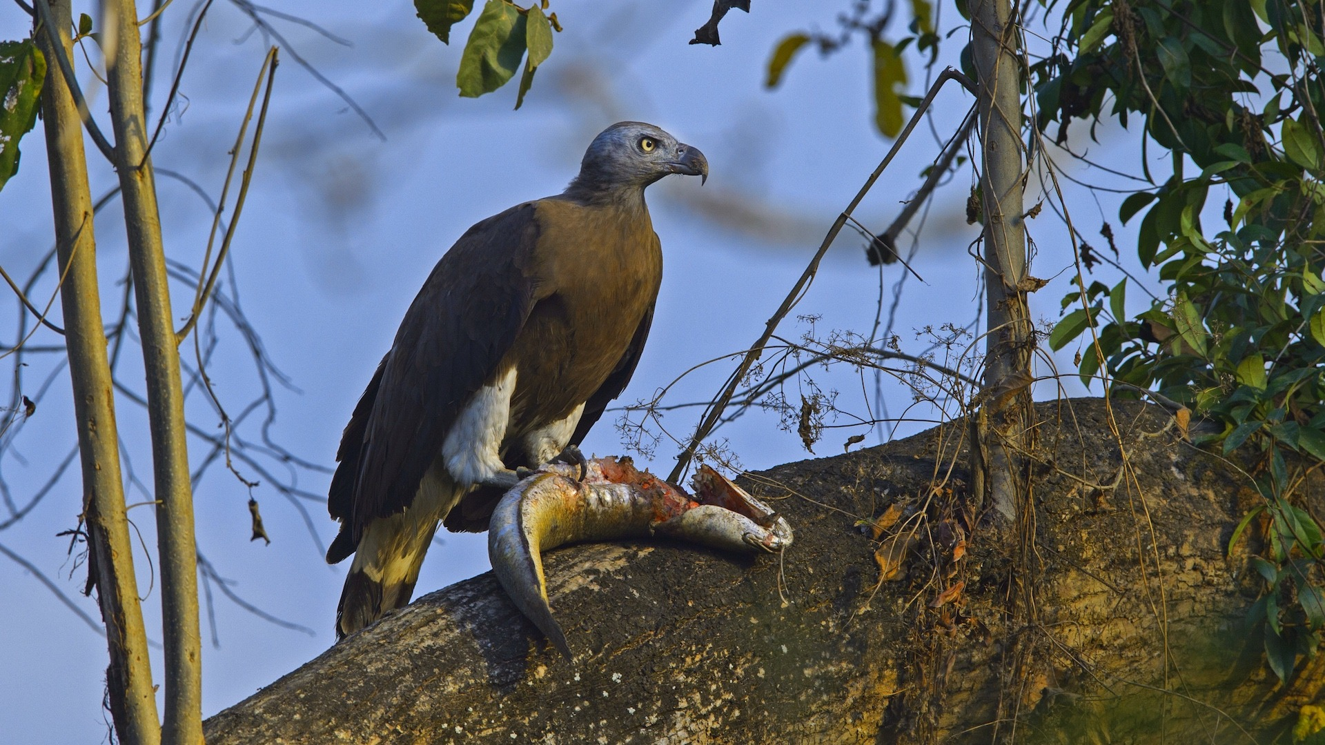 Hunter on the Beel: The Grey-headed Fish Eagle