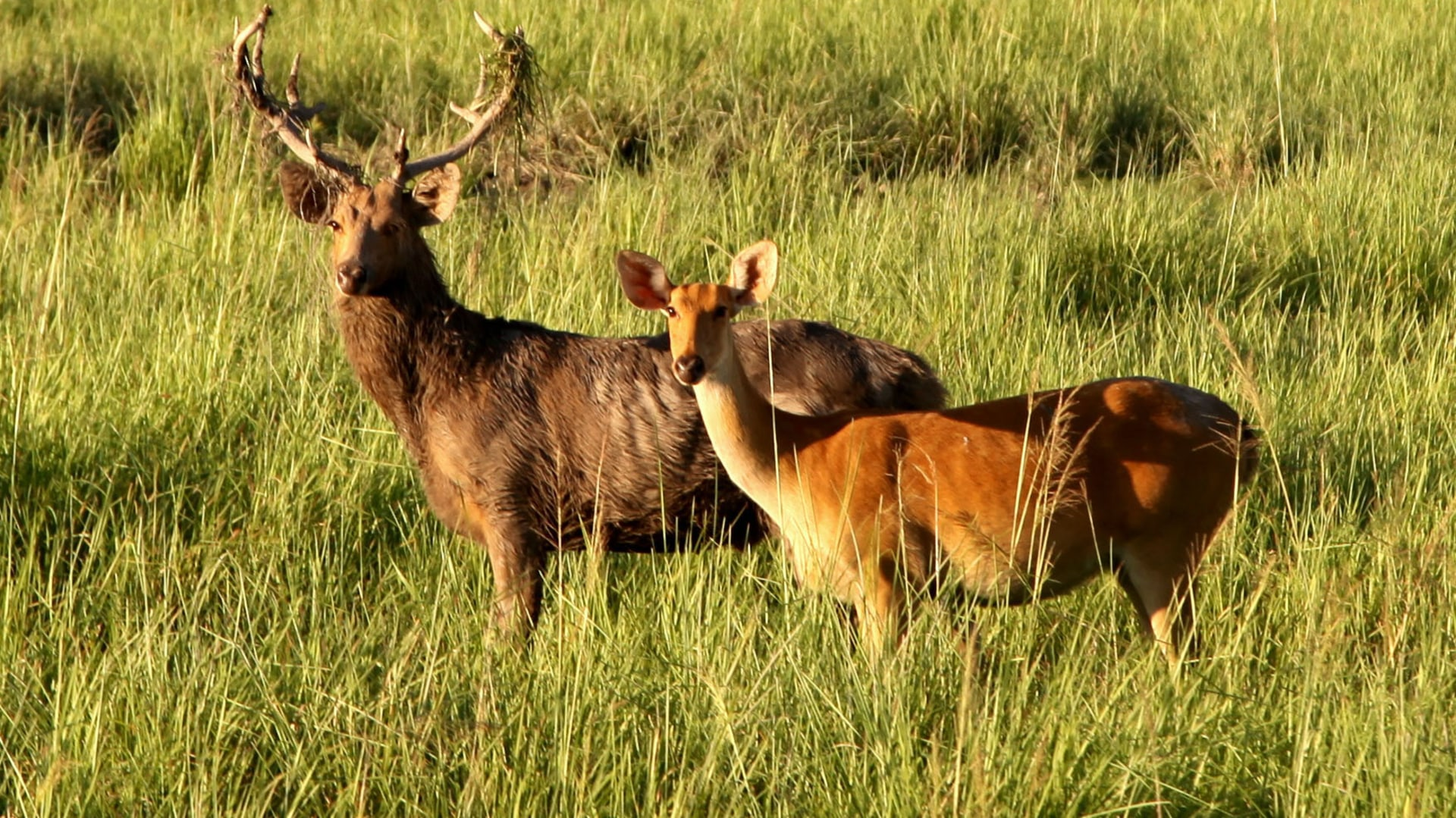 Securing the Future of the Eastern Swamp Deer in Assam