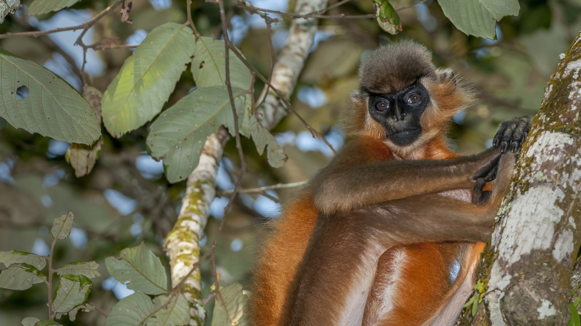 The Monkey with a Beanie: The Capped Langurs of Hollongapar