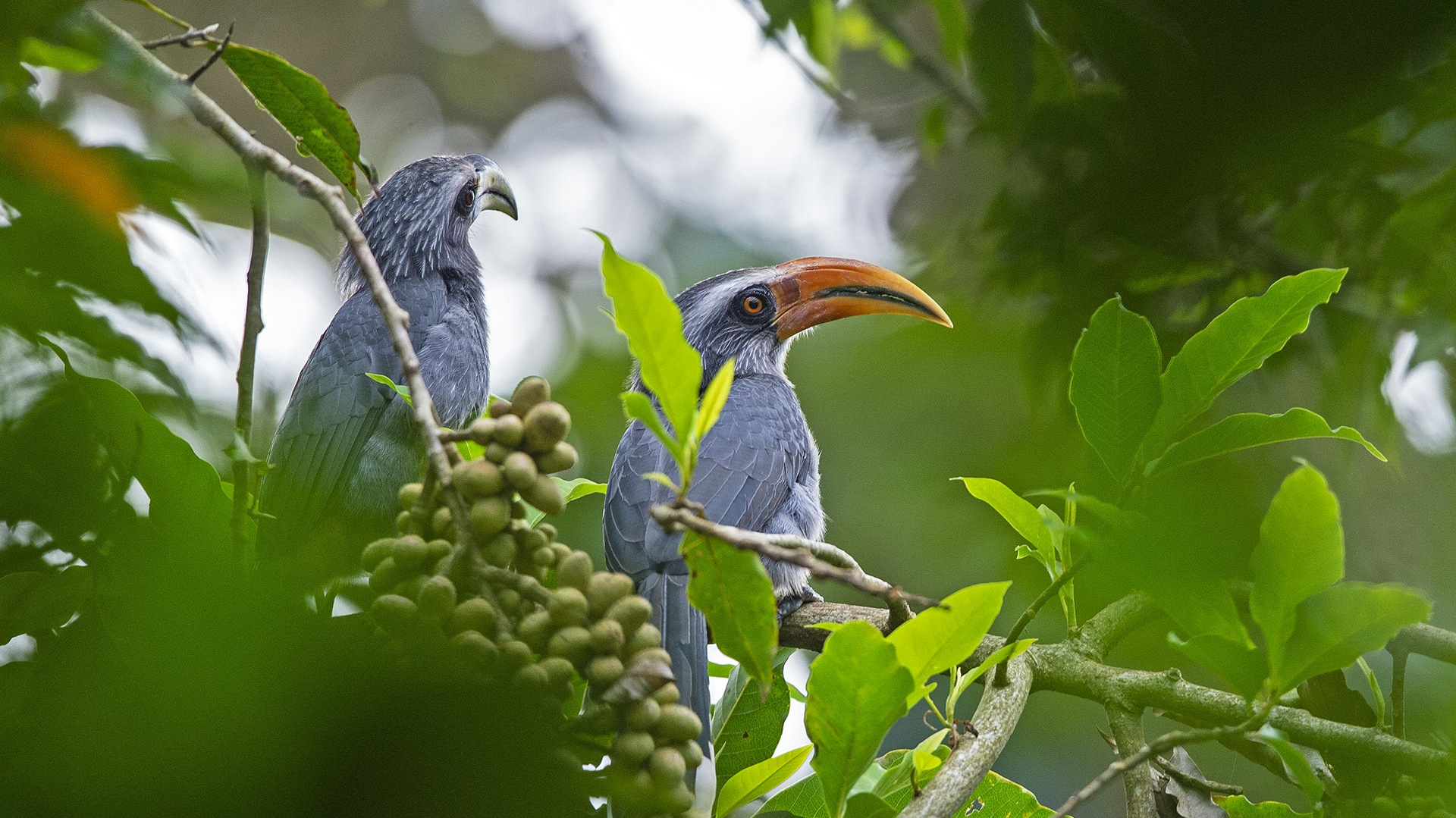 Malabar Grey Hornbills: Gardeners of the Rainforest