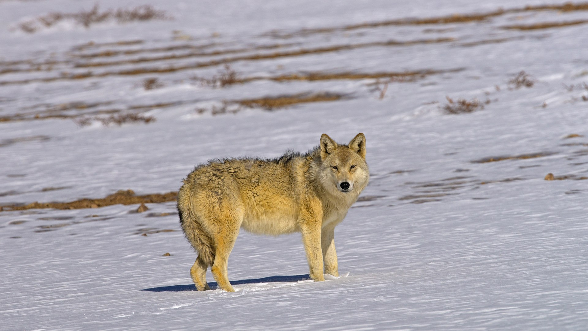 Woolly Wolf: An Ancient Lineage in the Himalayas