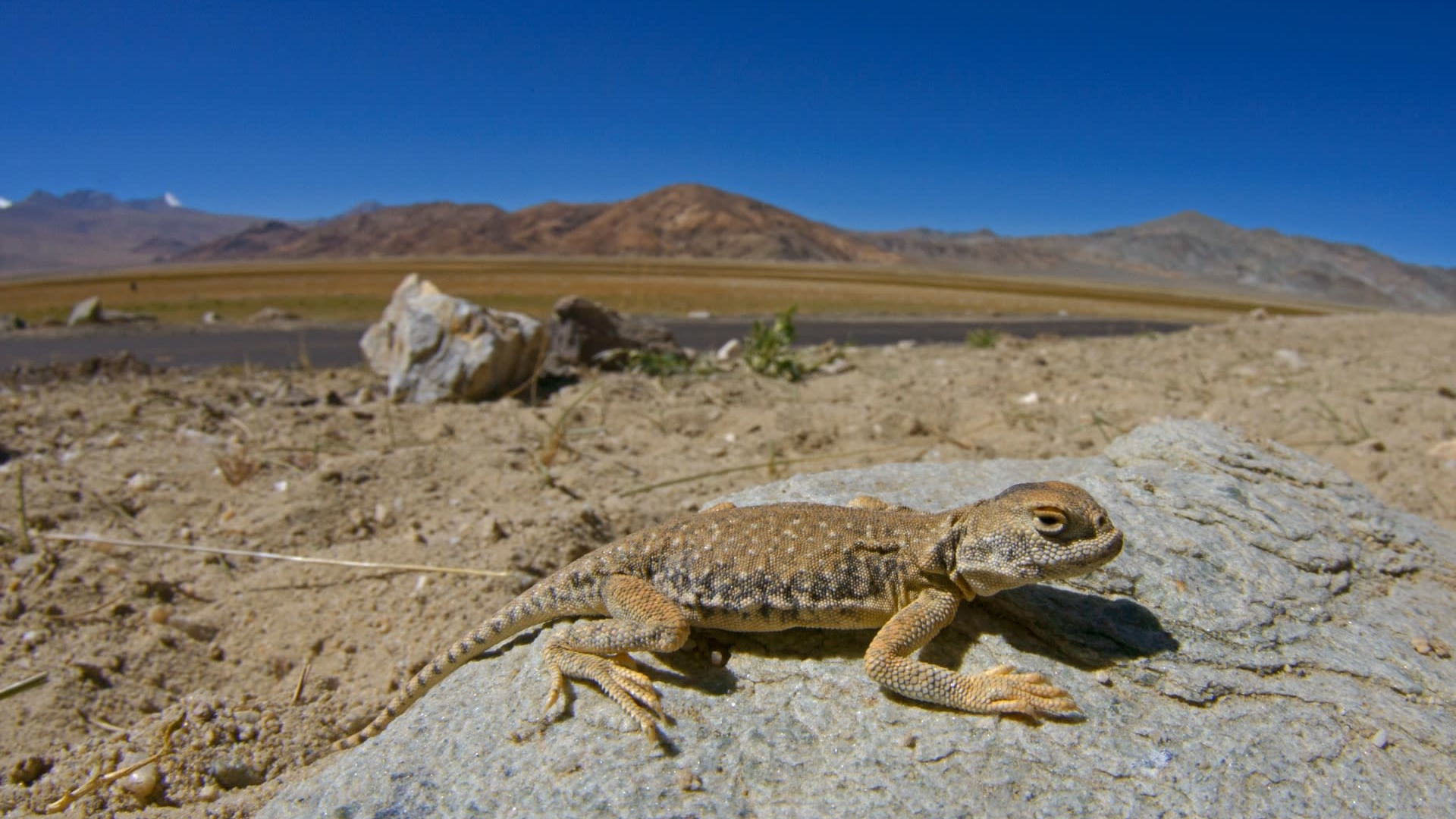 Shadow in the Sand: Encountering the Toad-headed Agama in Ladakh