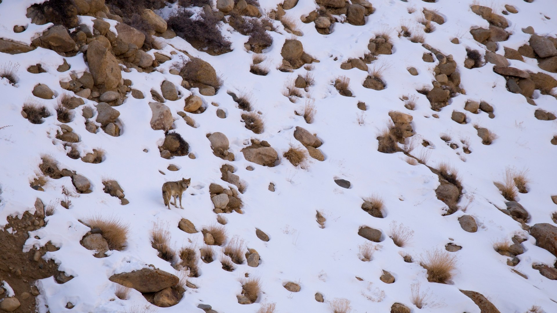 Himalayan Wolf: The Howler of Hanle