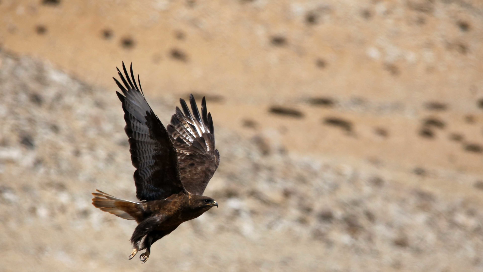 The Soaring Raptor of the Changthang Skies