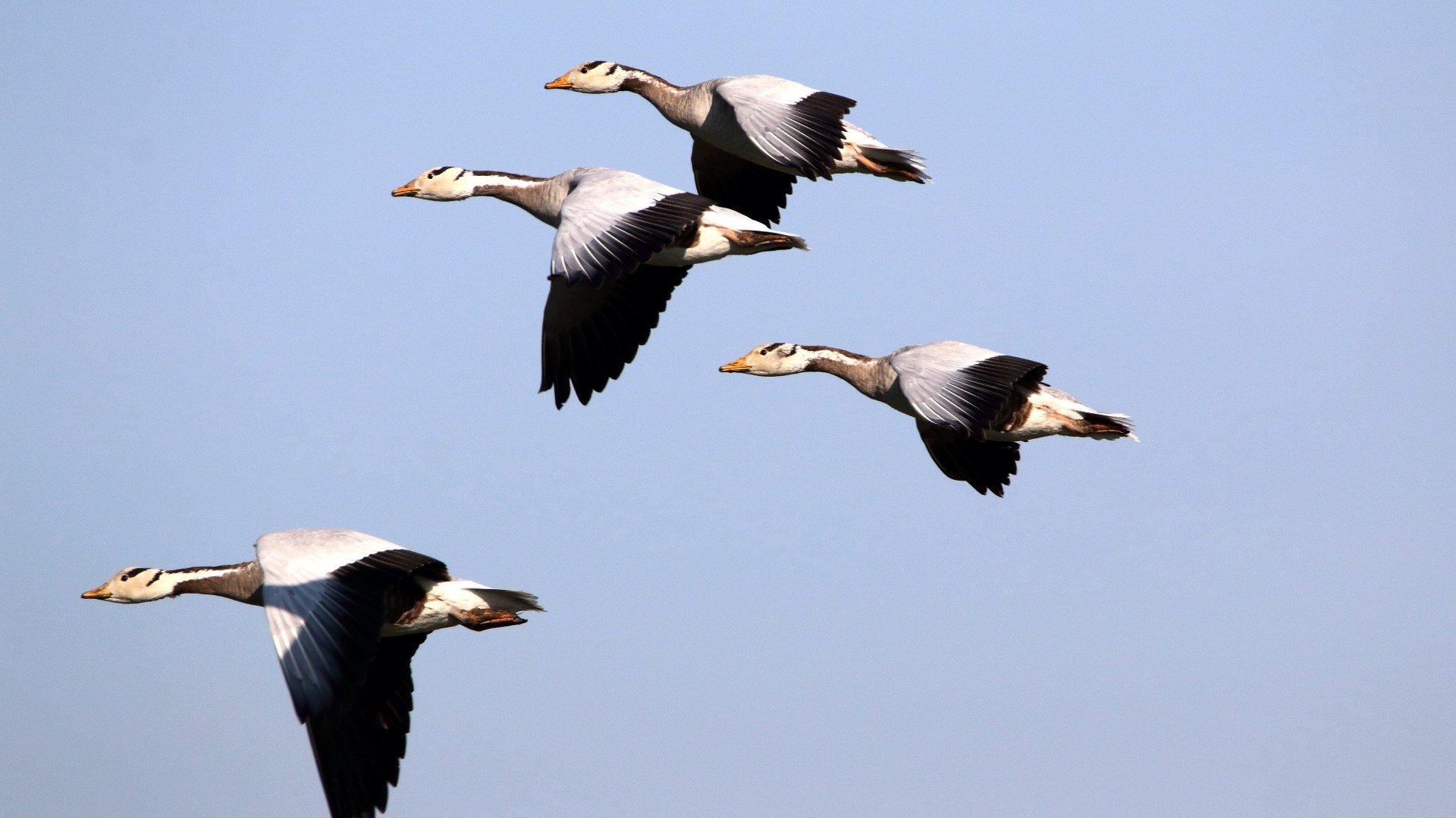 High Flier: Bar-headed Goose Over the Himalayas