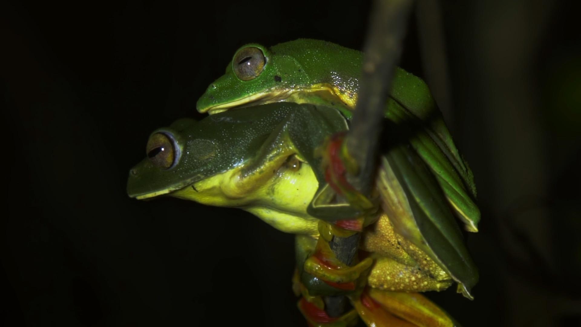 Malabar Gliding Frog: Nesting in a Cloud