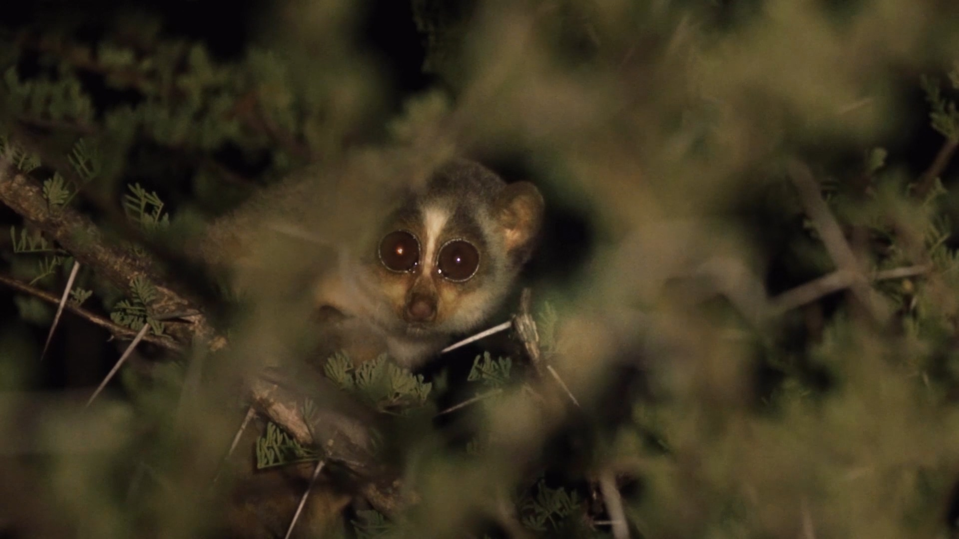 Gray Slender Loris: The Endearing Secret Creature of the Night Forest