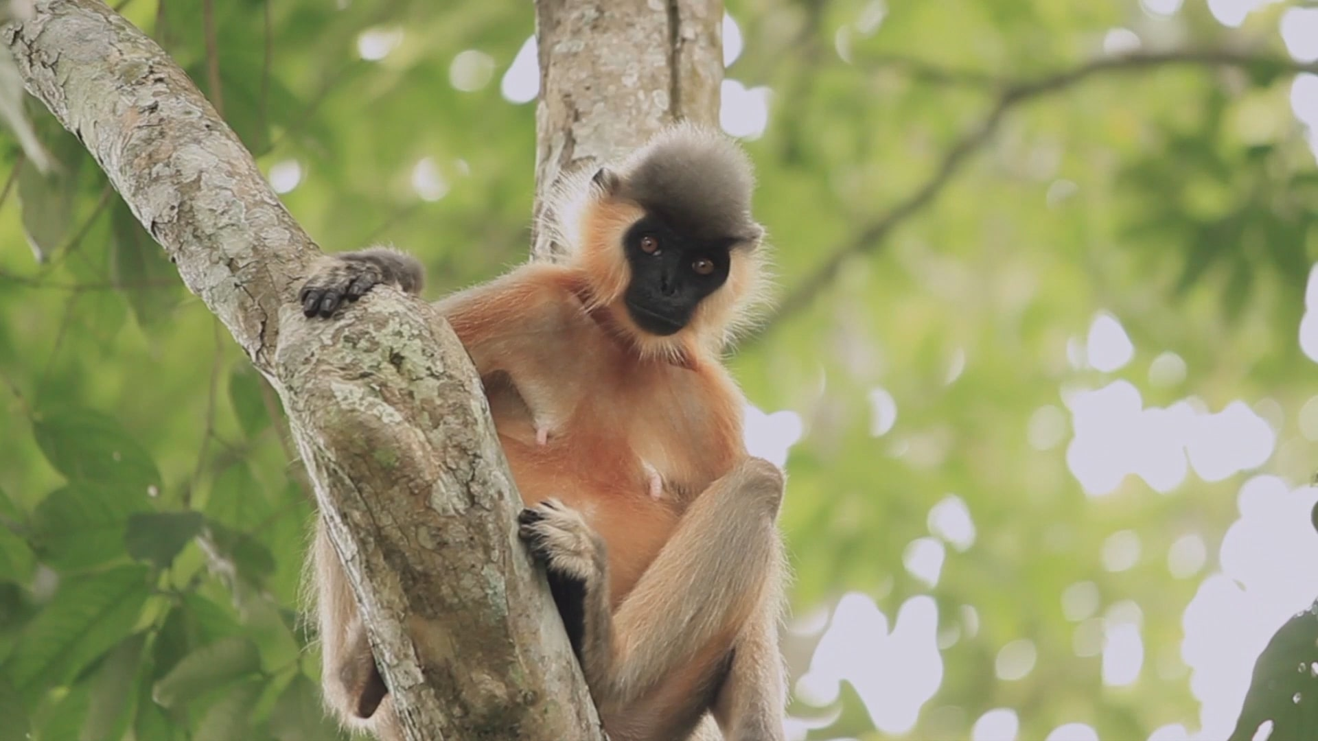 Capped Langurs and their Risky Quest for a Special Treat